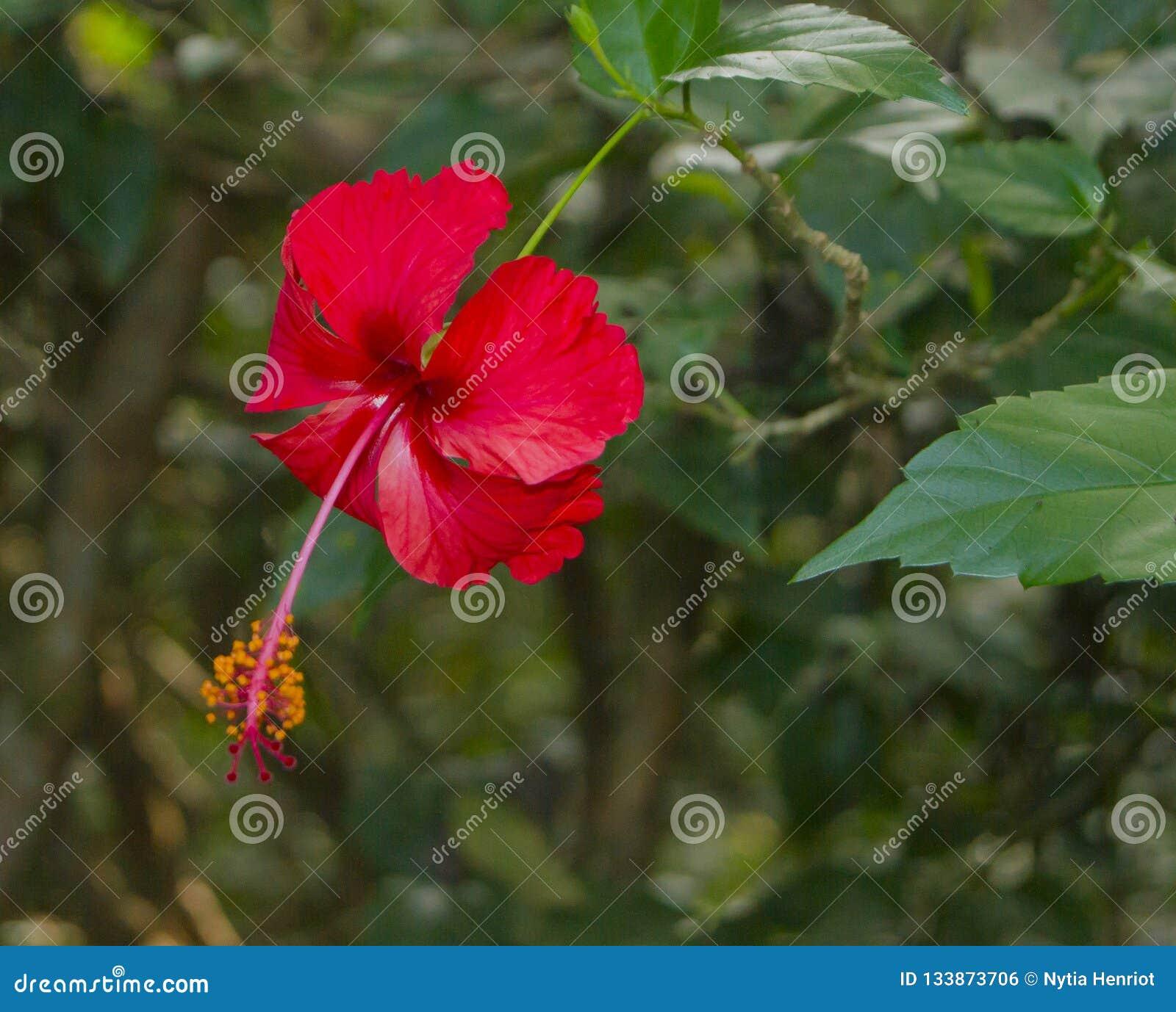 Flor del hibisco, Costa Rica Biodiversity