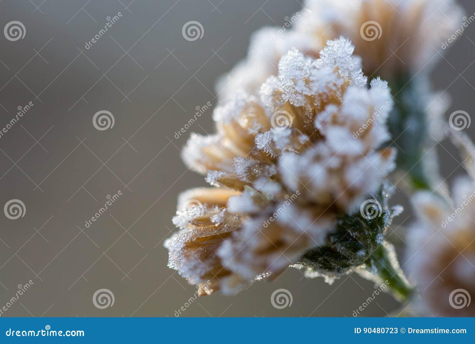 Flor del hielo