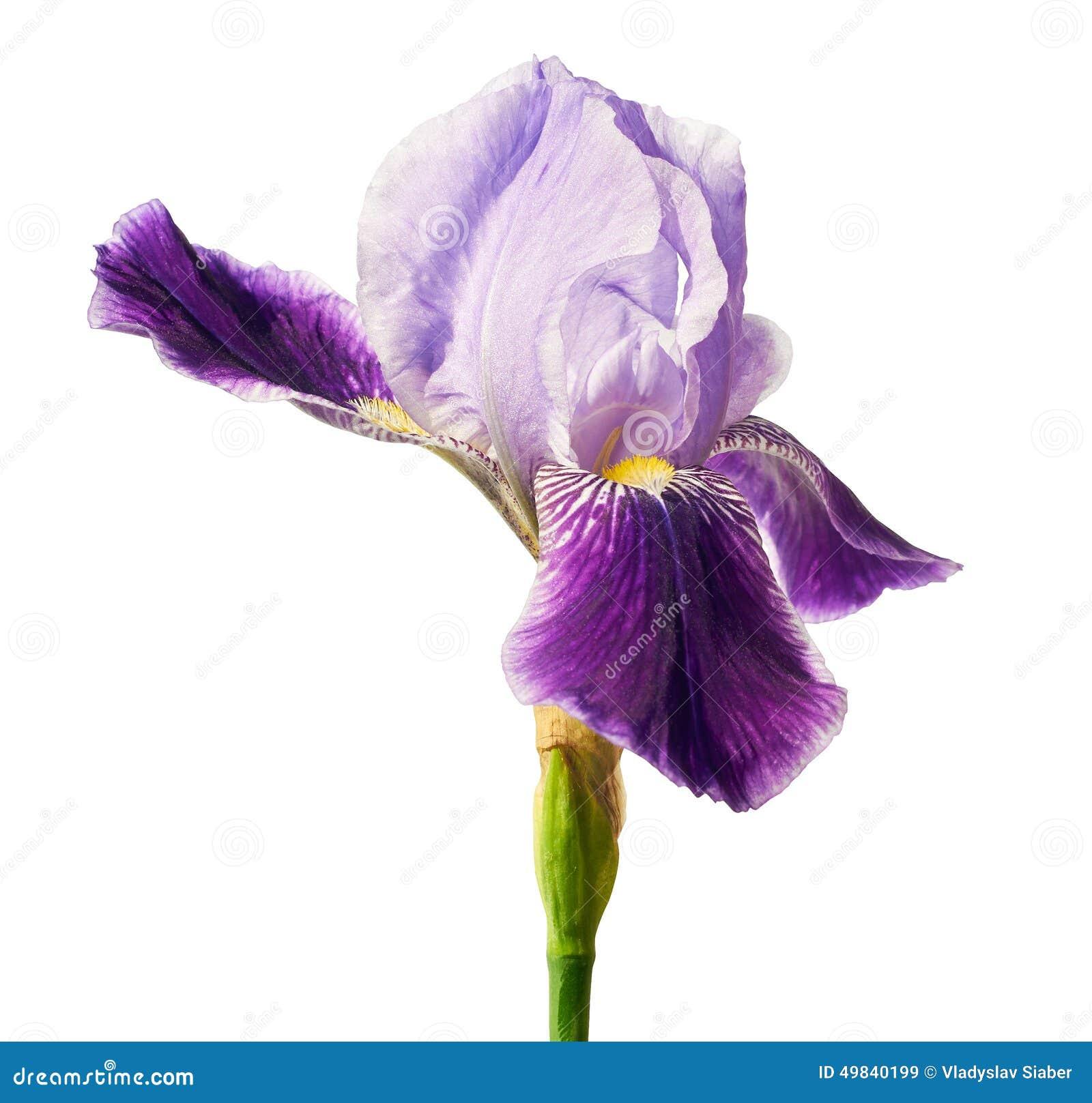Flor del iris aislada con la trayectoria de recortes