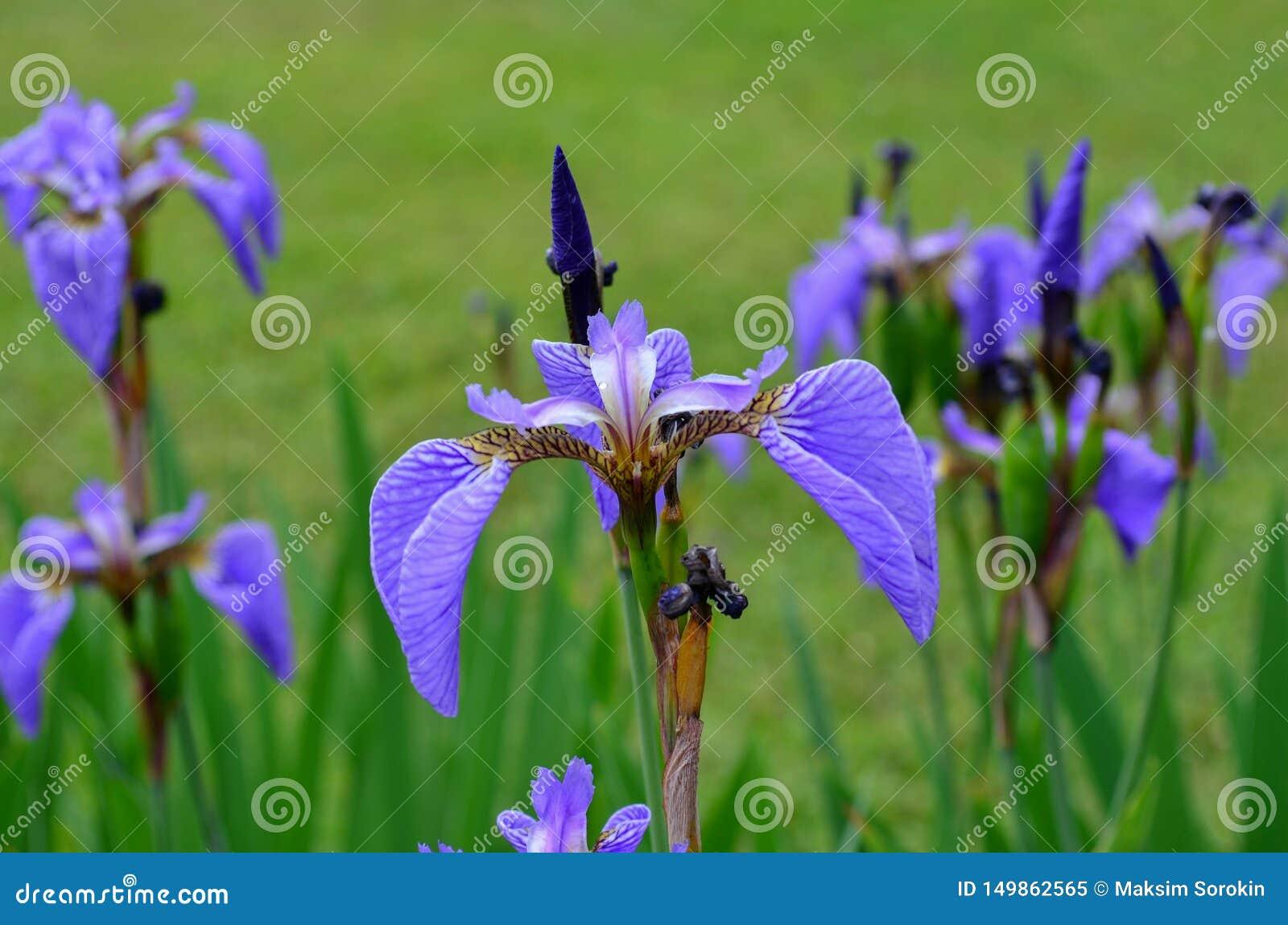 Flor del iris en el campo