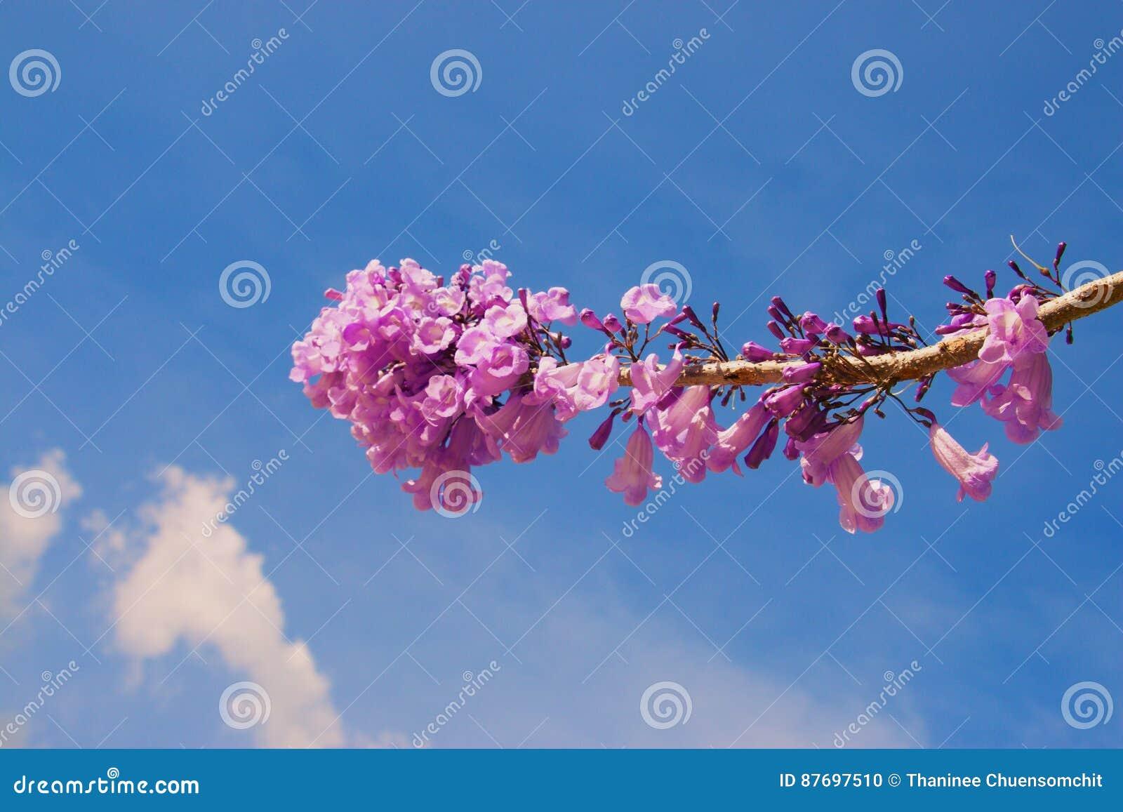 Flor del Jacaranda