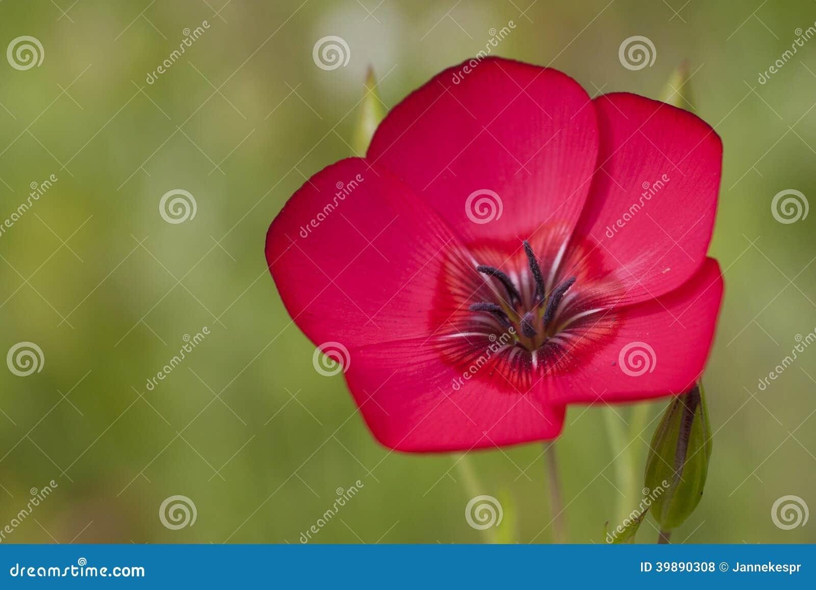 Flor del lino