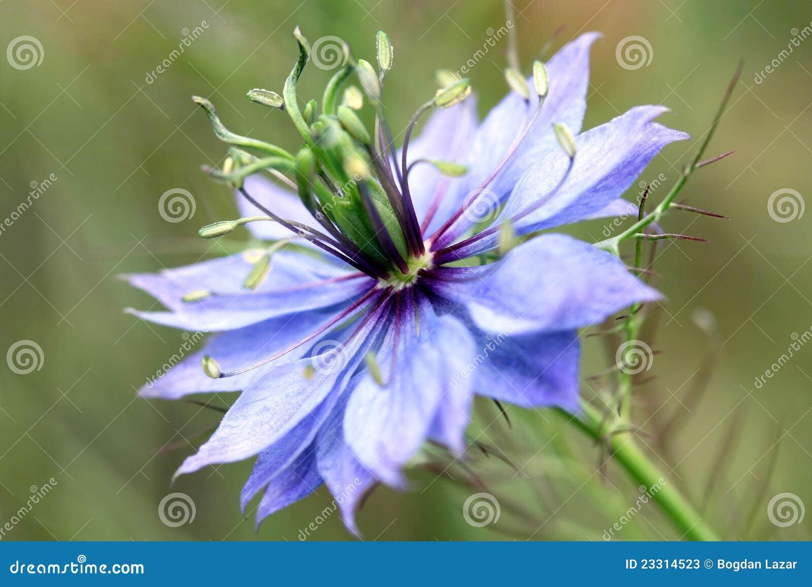 Flor del Love-in-a-mist (damascena de Nigella)