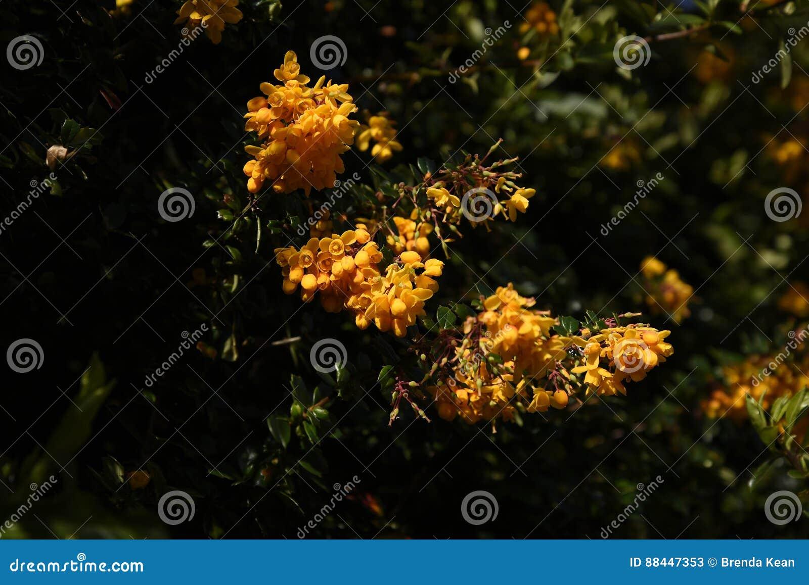 Flor del Mahonia en un jardín de Lancashire