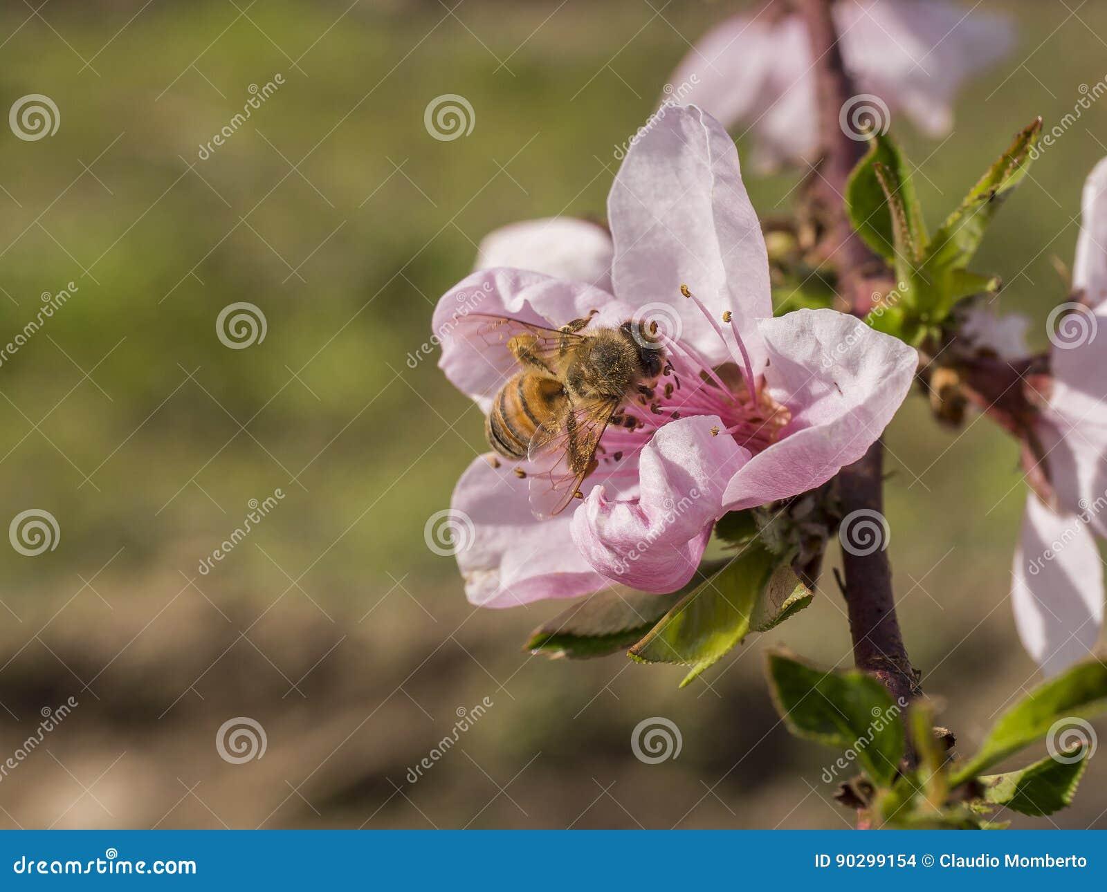 Flor del melocotón con la abeja