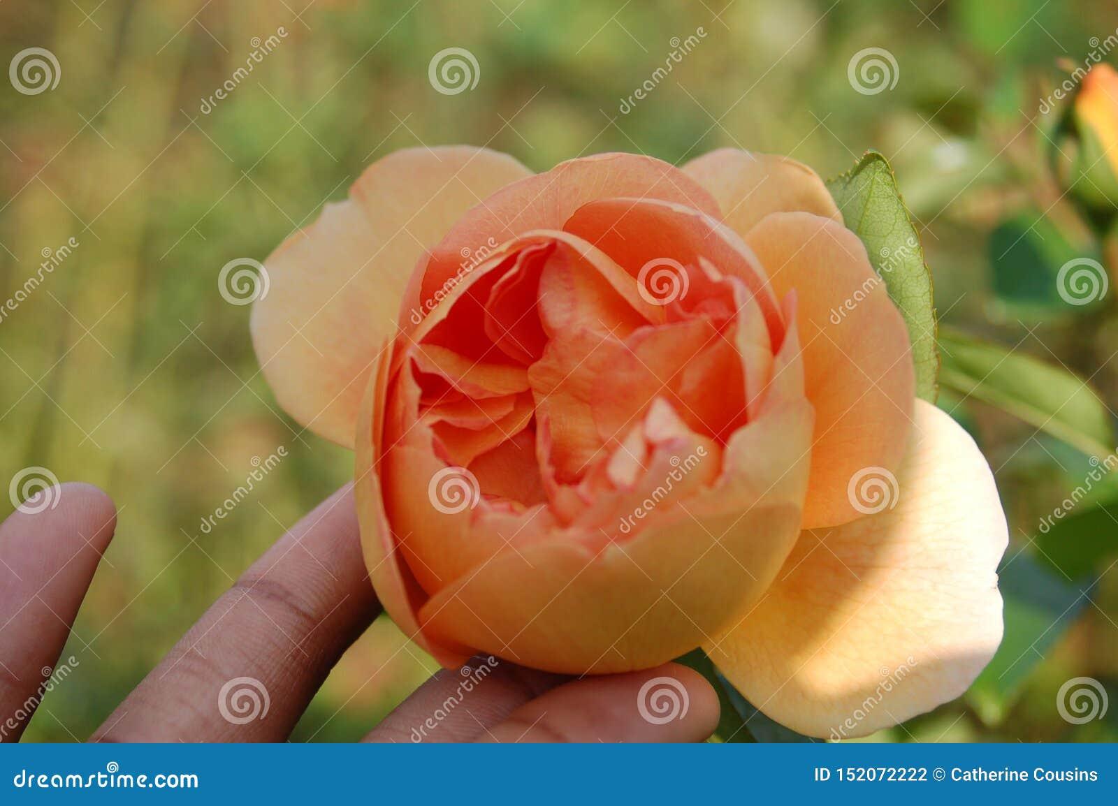 Flor del melocotón en yemas del dedo entre campo borroso