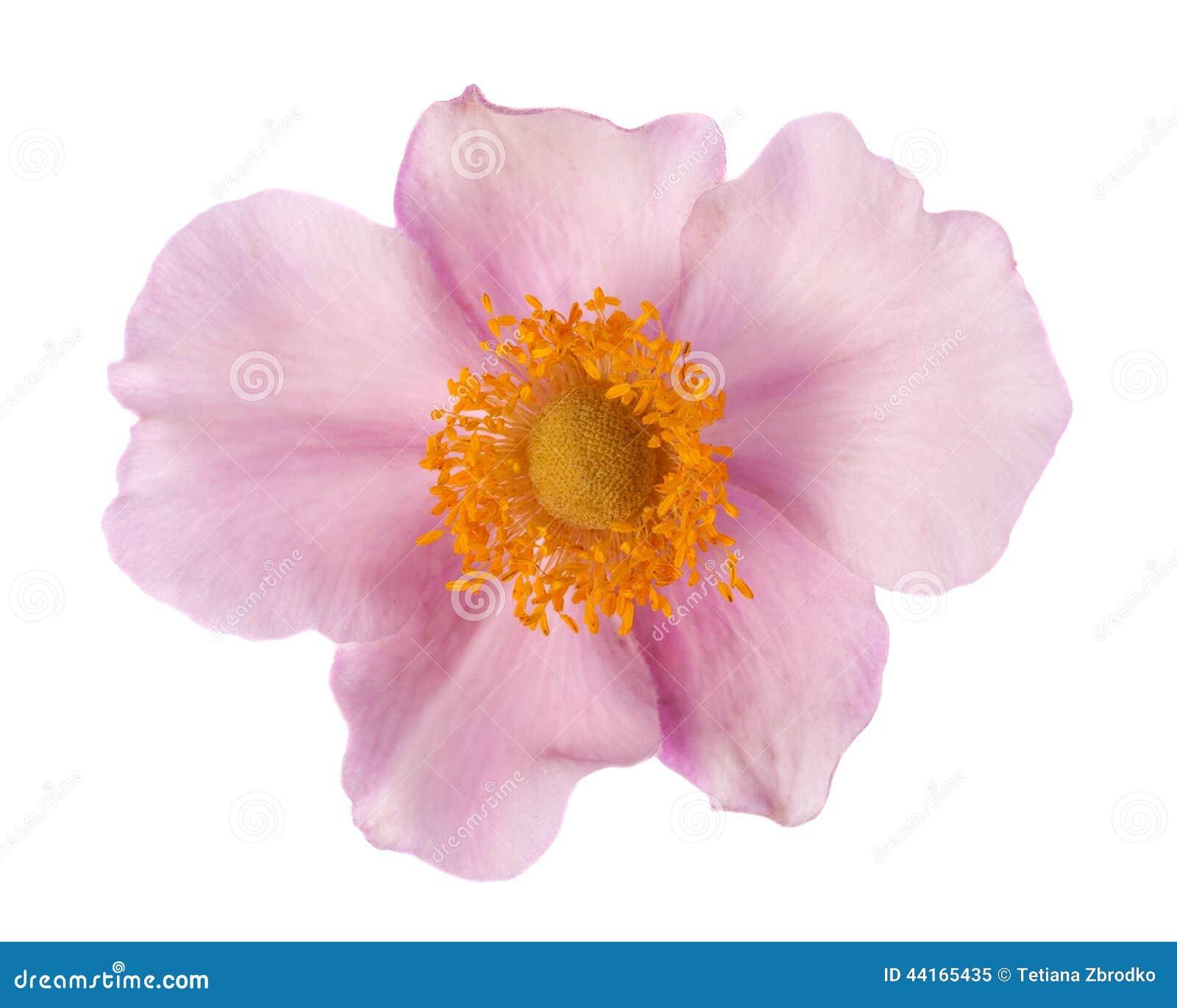 Flor del odoratus del Rubus
