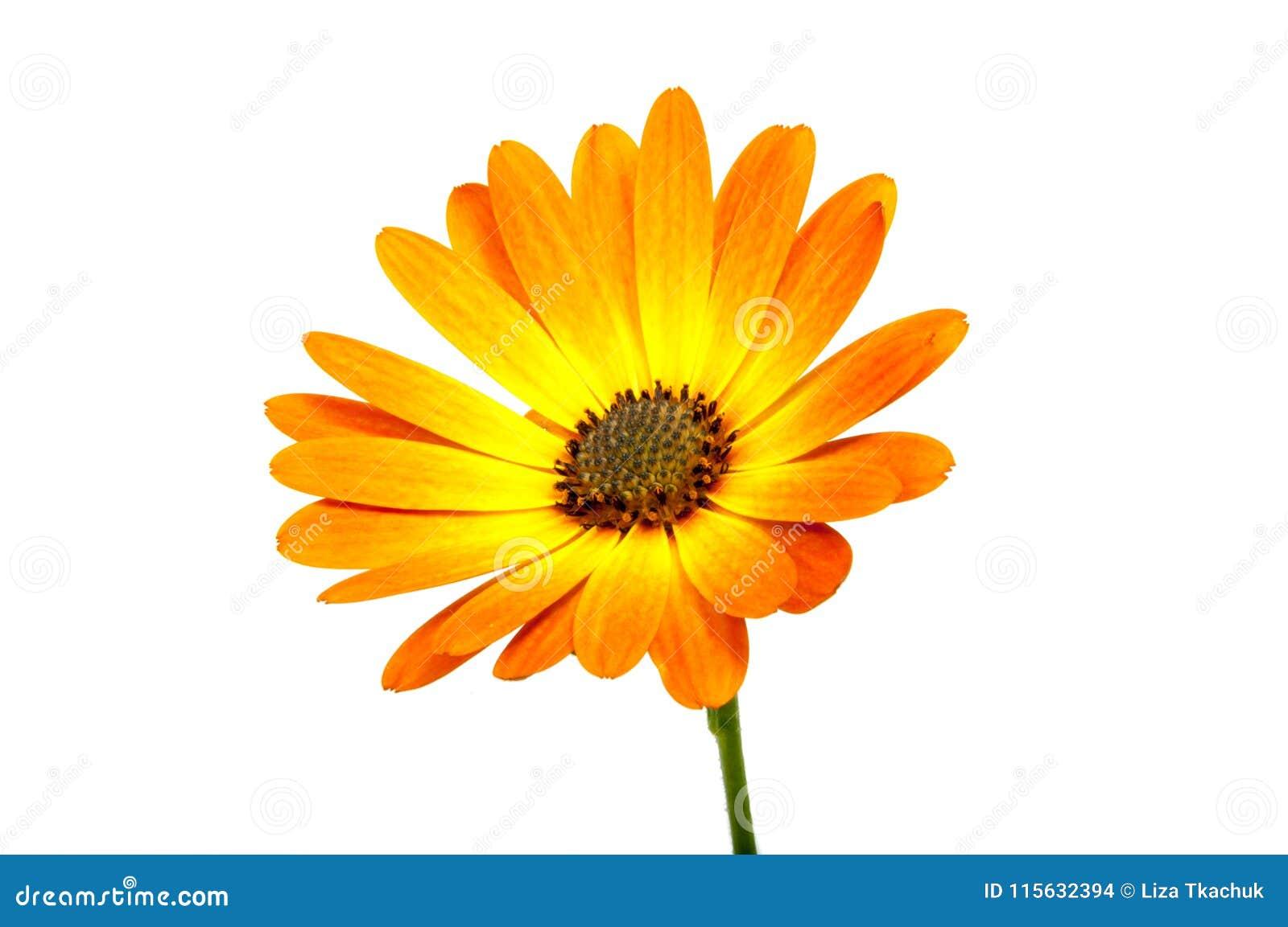 Flor del osteospermum anaranjado hermoso o de la margarita africana aislada