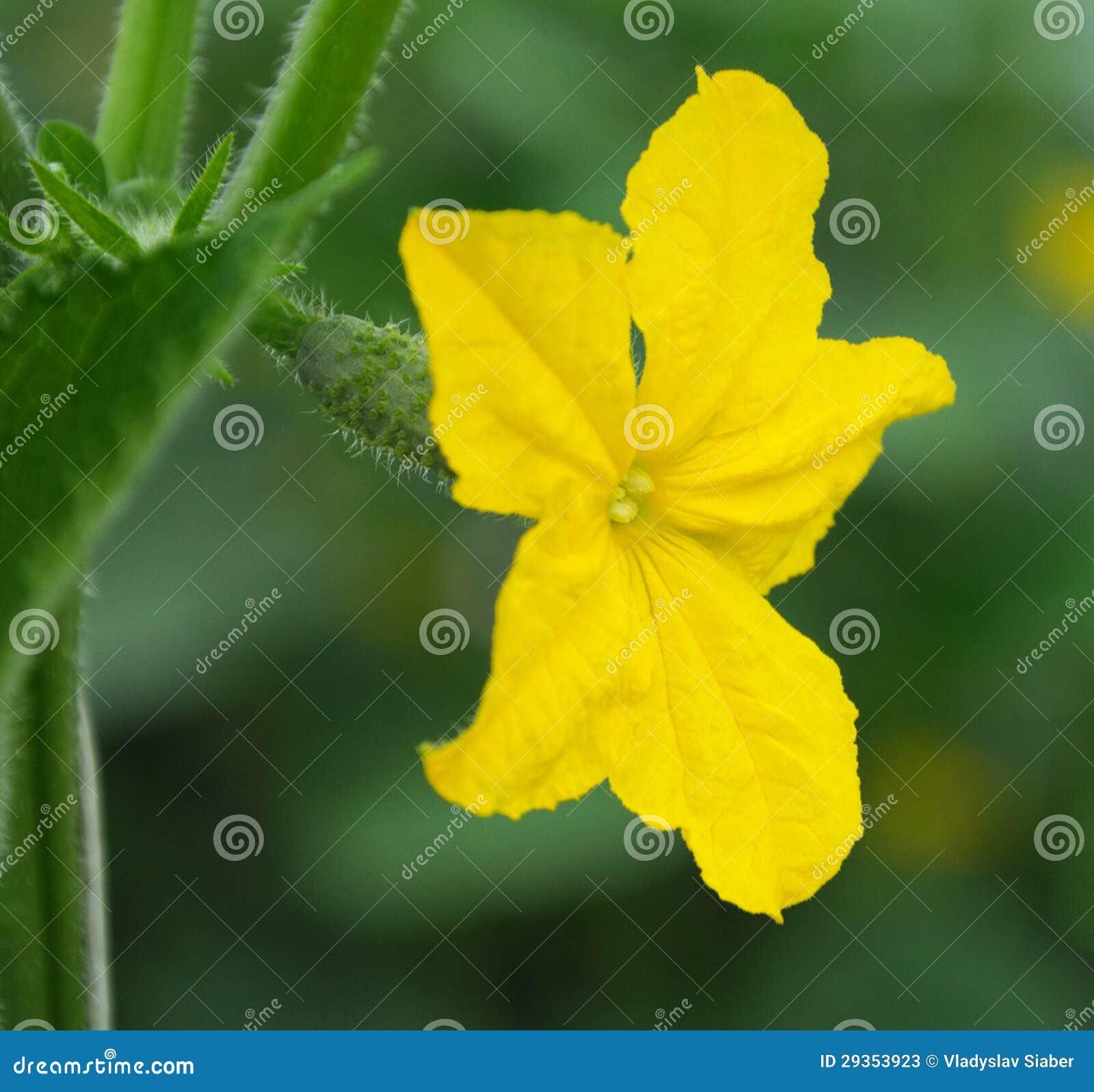 Flor del pepino
