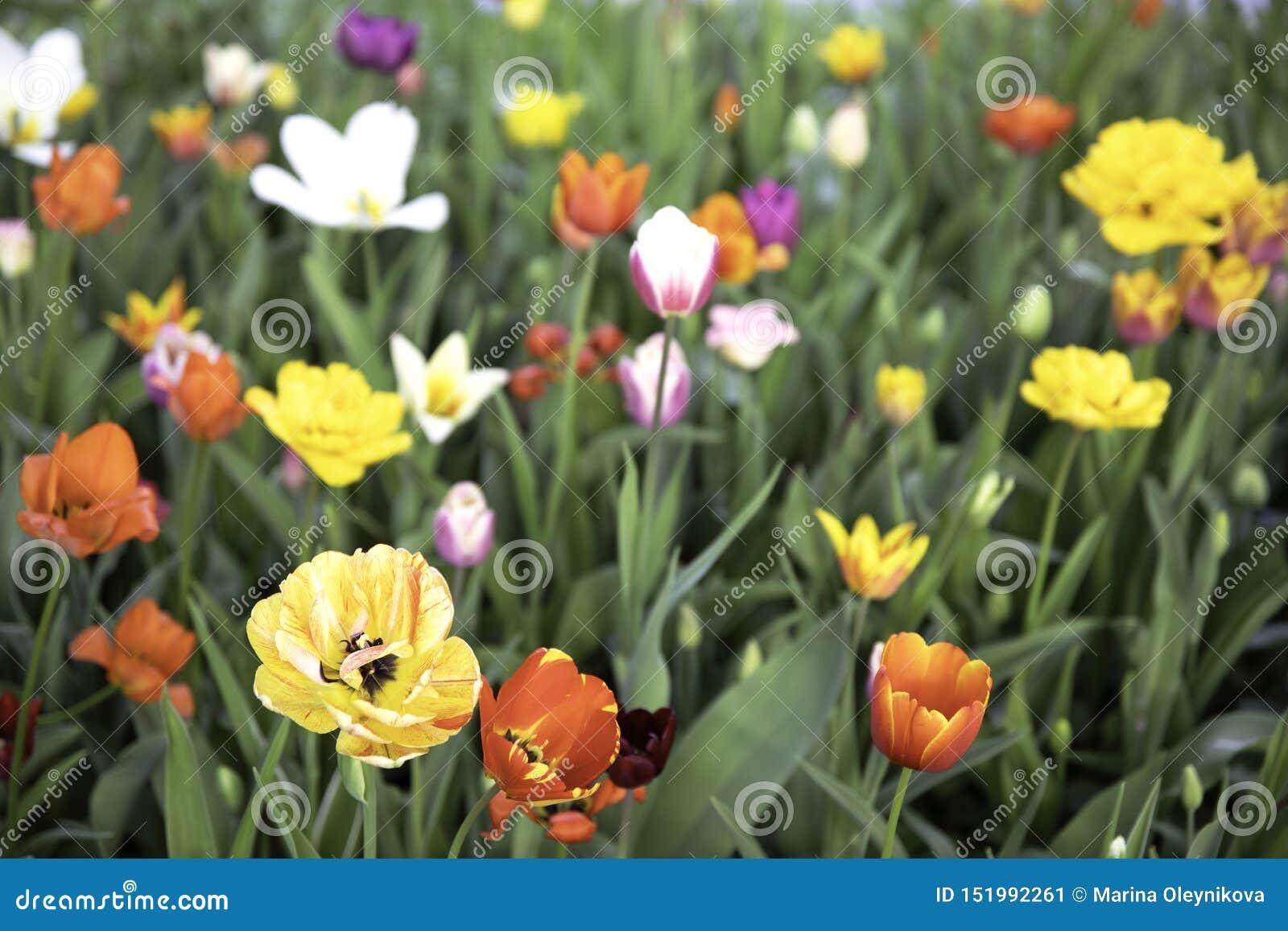 Flor del prado de los tulipanes de la primavera en Moscú