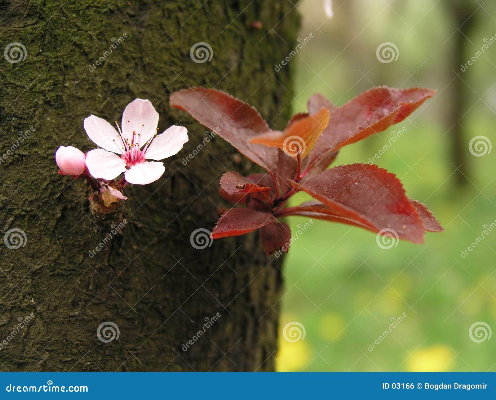 Flor del resorte en corteza de árbol
