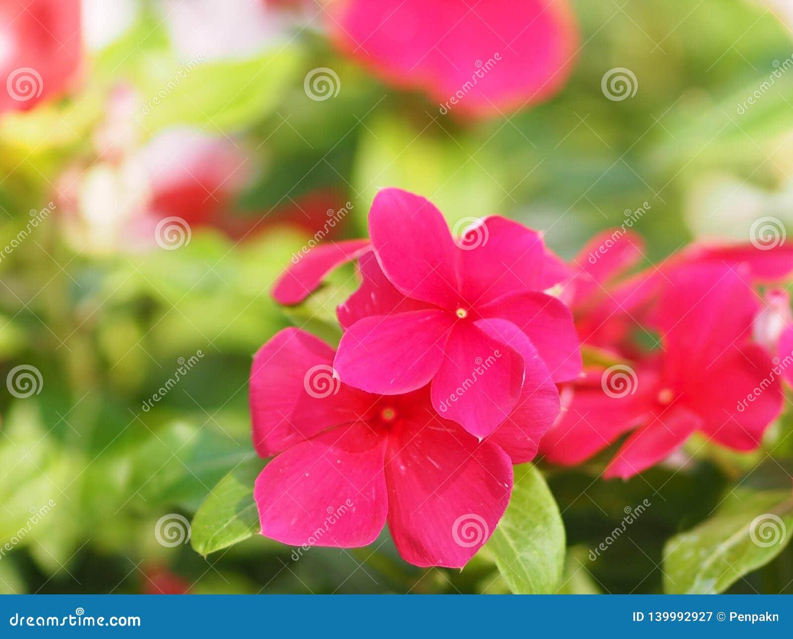 Flor del rosa y blanca en el roseus del berro Madagasca o de Rose Periwinkle Catharanthus del fondo de la falta de definición her