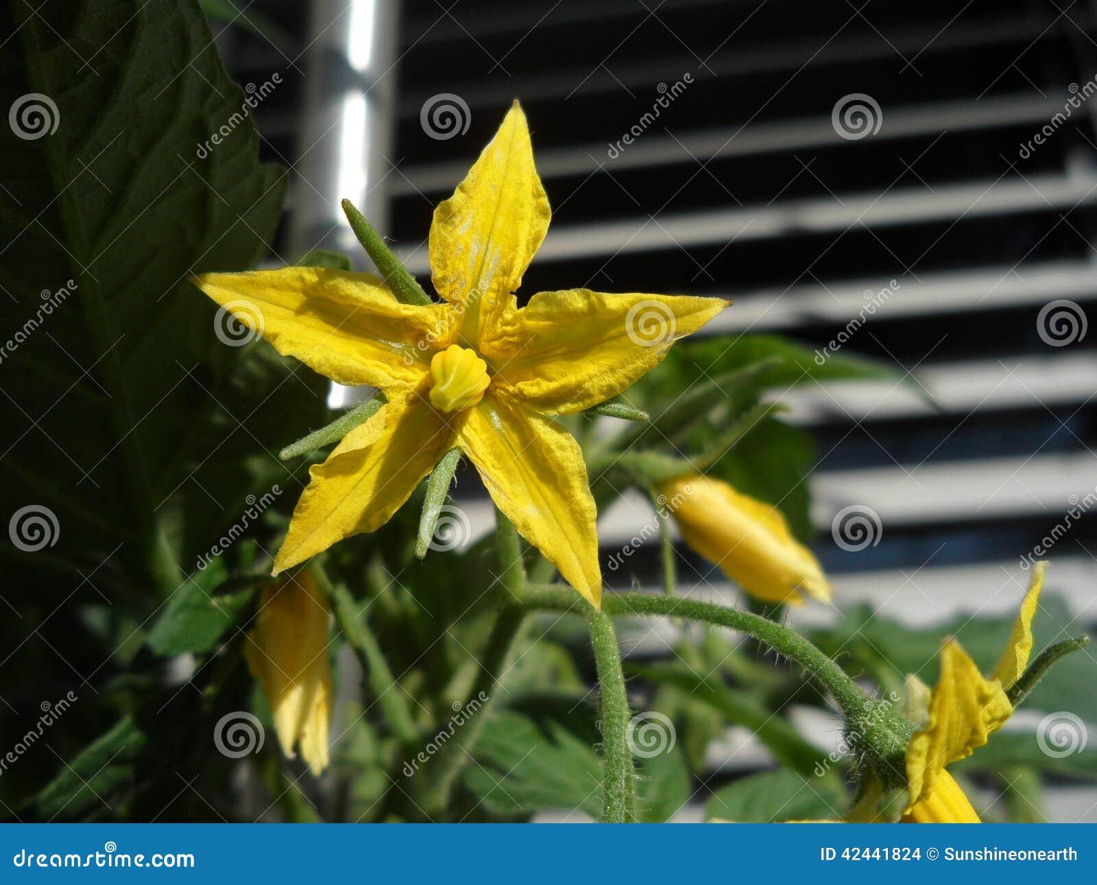 Flor del tomate