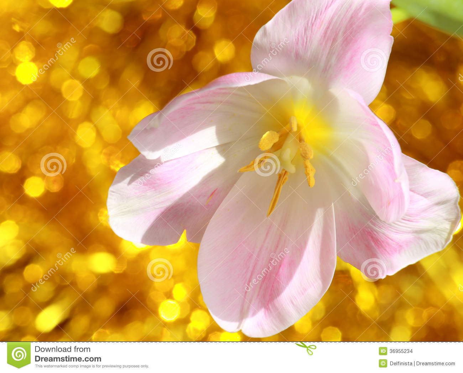 Flor del tulipán: Día de madres o fotos de la acción de Pascua
