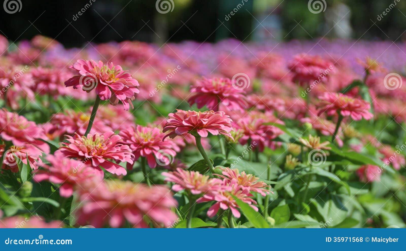 Flor del Zinnia