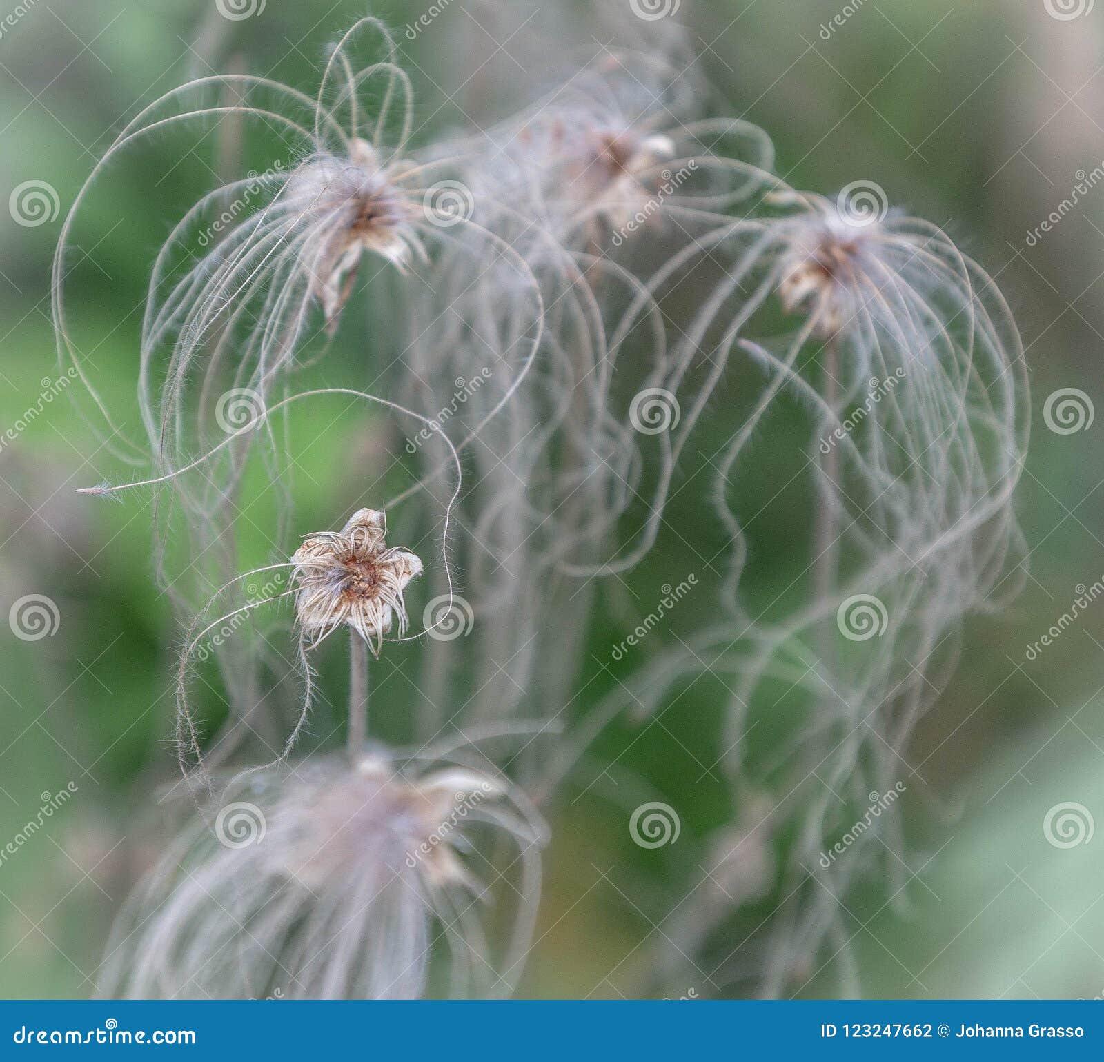 Flor delicado secada