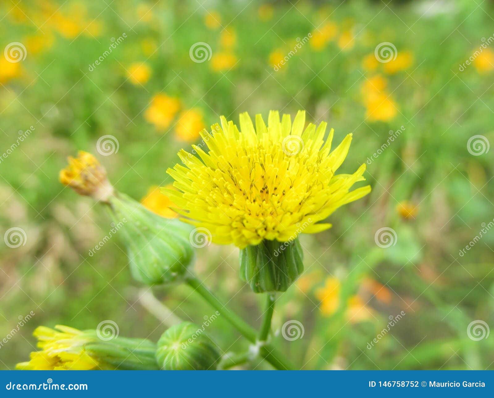 Flor Diente De León En jardín floreado