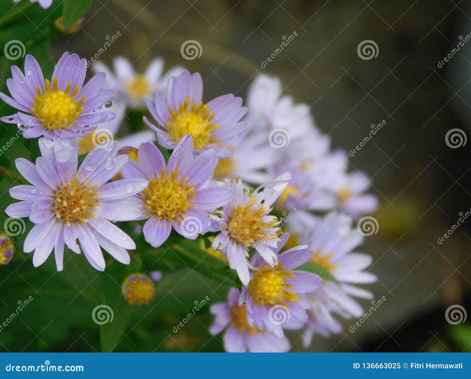 Flor do áster