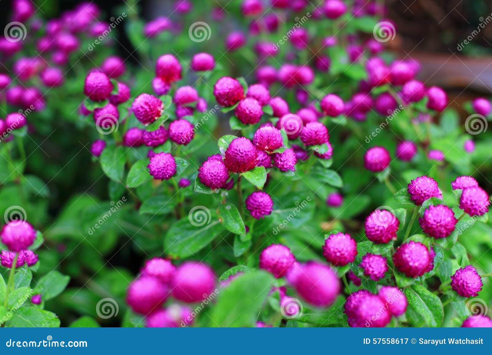 Flor do amaranto de globo