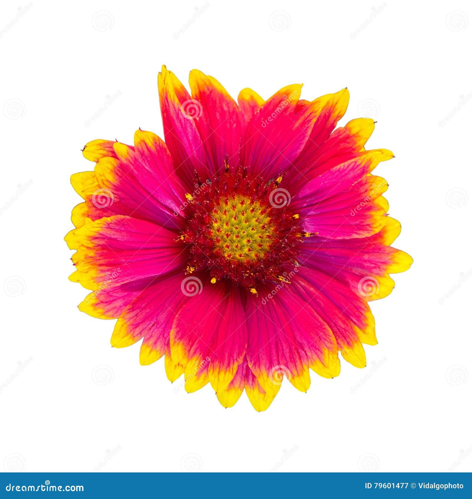 Flor do aristata do Gaillardia, igualmente conhecida como a flor geral
