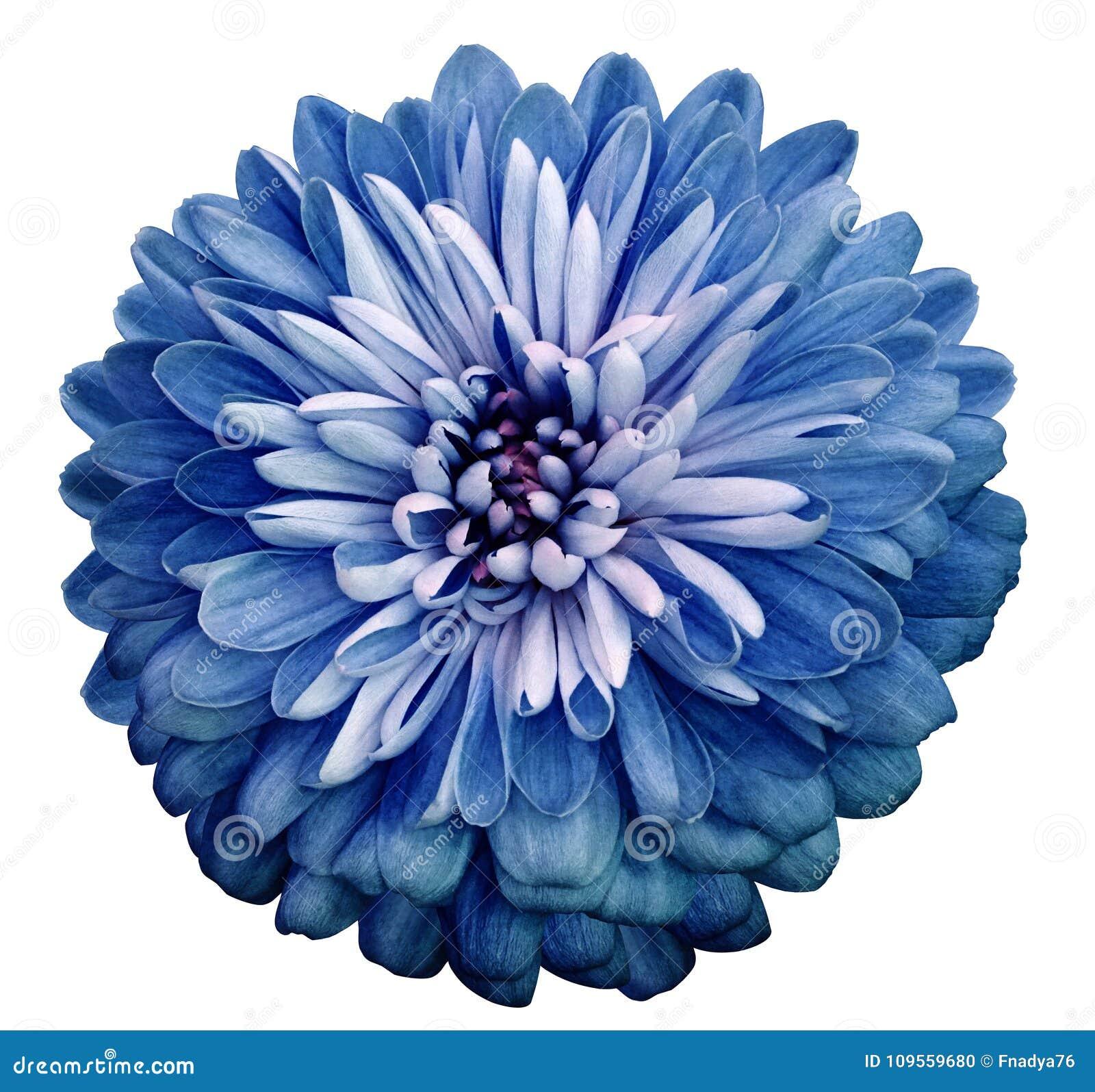 Purple Flower Clipart No Background: Imagens De Stock Crisântemo Branco