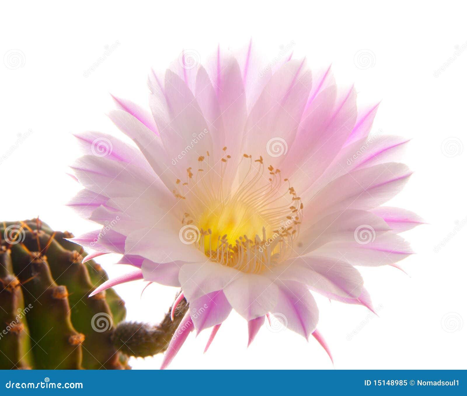 Flor do cacto