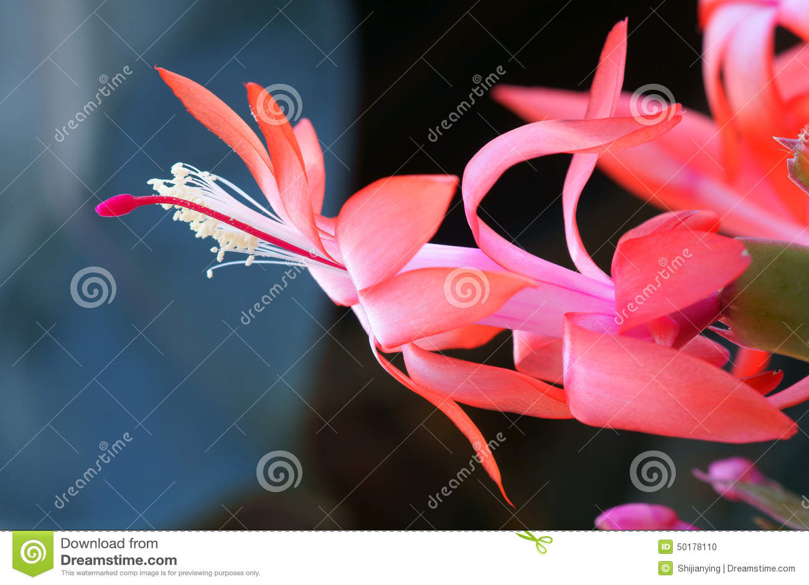 Flor do cacto de caranguejo