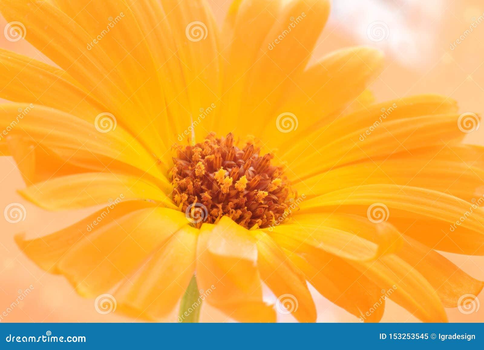 Flor do Calendula fechada acima do fundo bonito da natureza