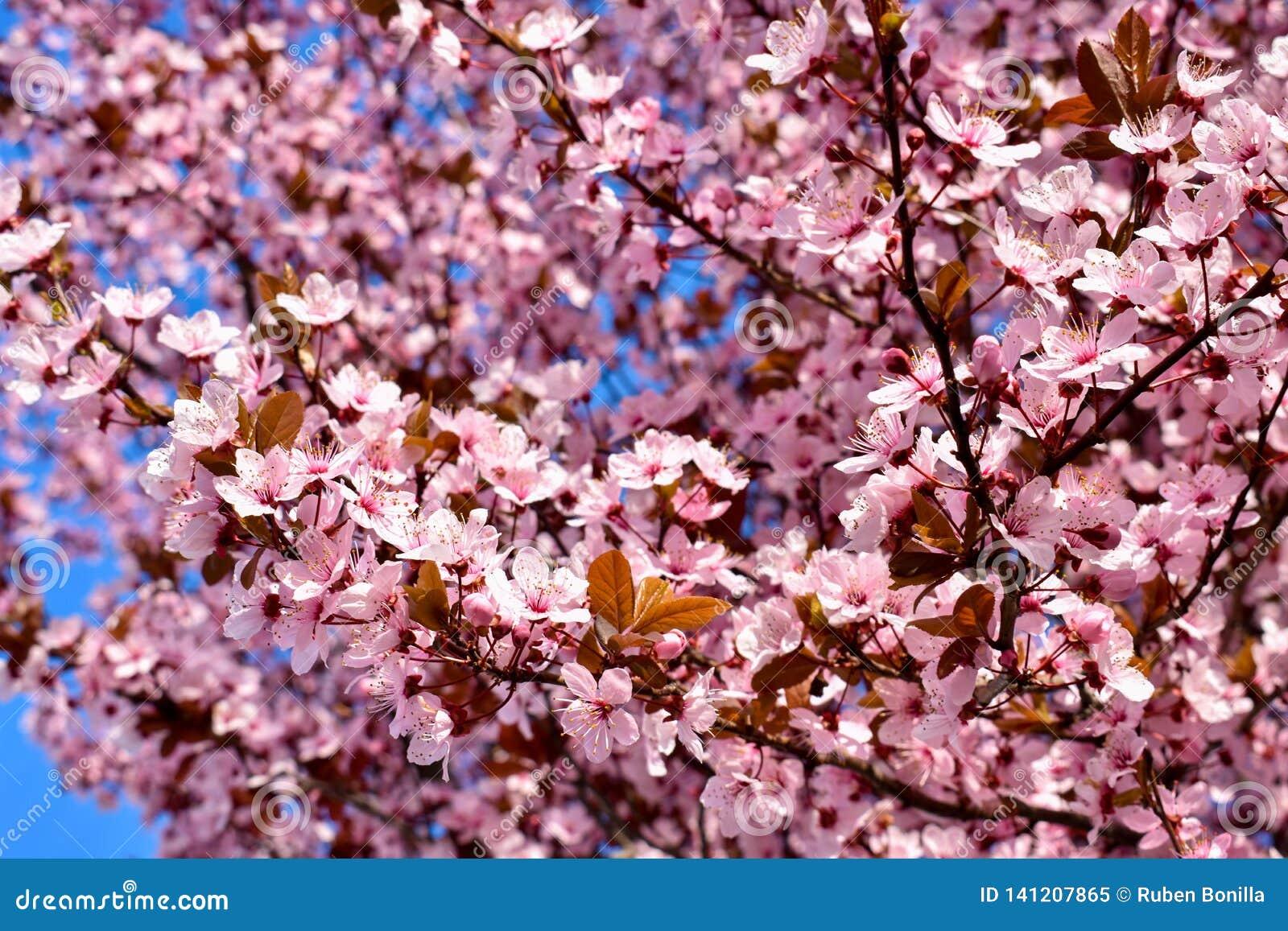 Flor do cerasus da cereja, do Prunus com flores cor-de-rosa e algumas folhas vermelhas, árvore de Cerasifera Pissardii do Prunus