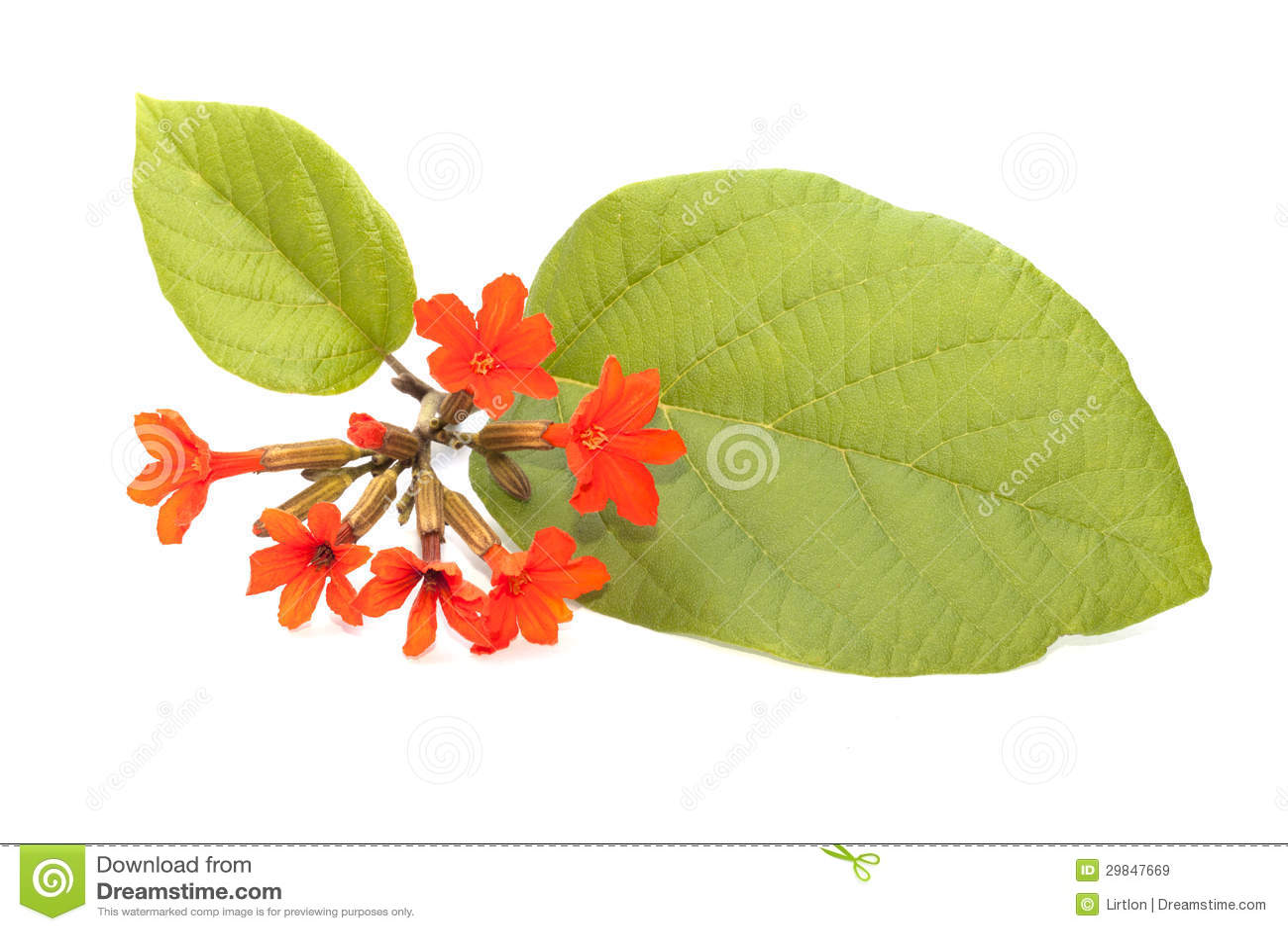 Flor do Cordia isolada