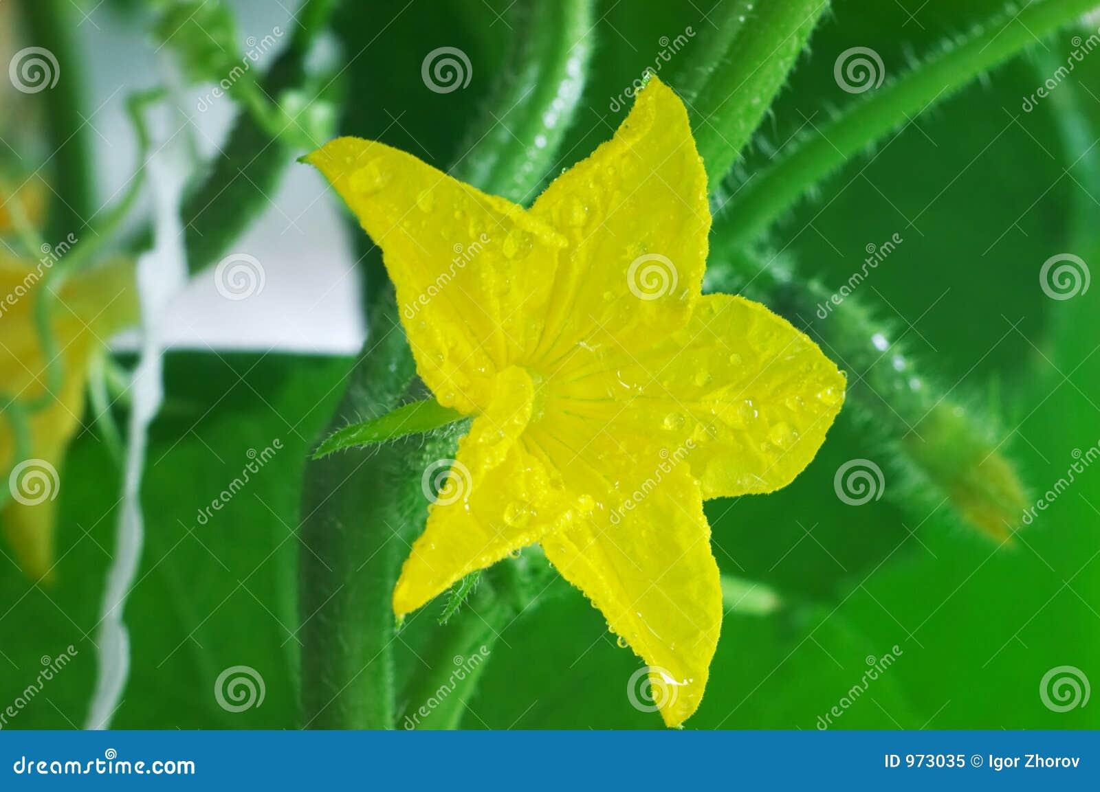 Flor do cucmber