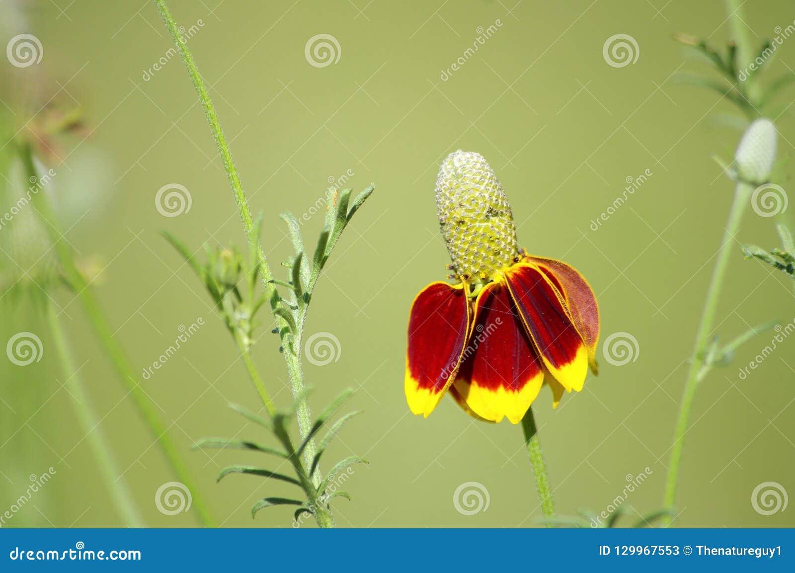 Flor do dedal igualmente conhecida como o chapéu mexicano, flores em Texas Hastes magros longas com flor amarela e alaranjada