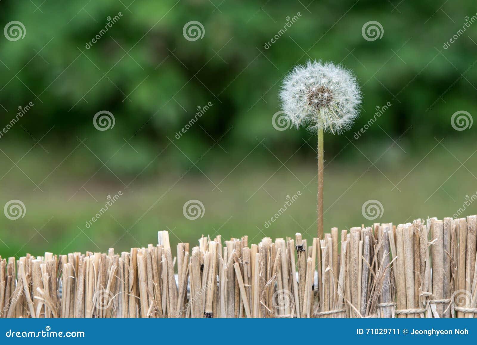 Flor do dente-de-leão