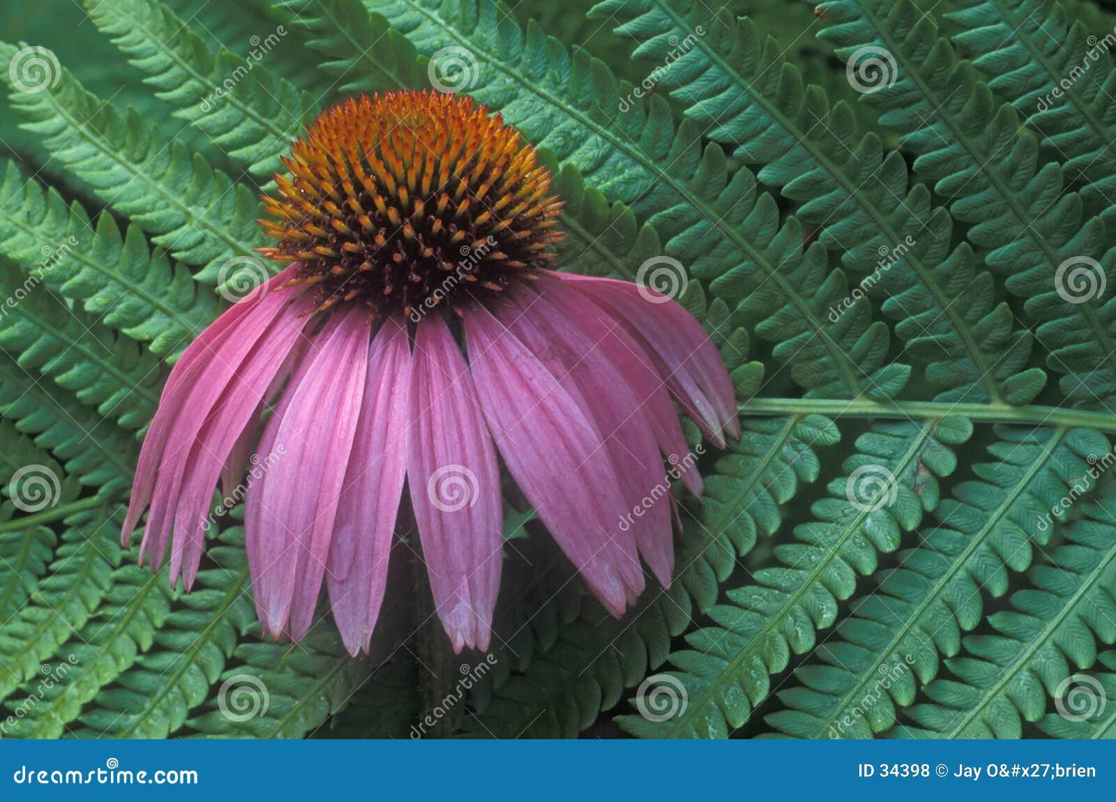 Flor do Fern & do cone