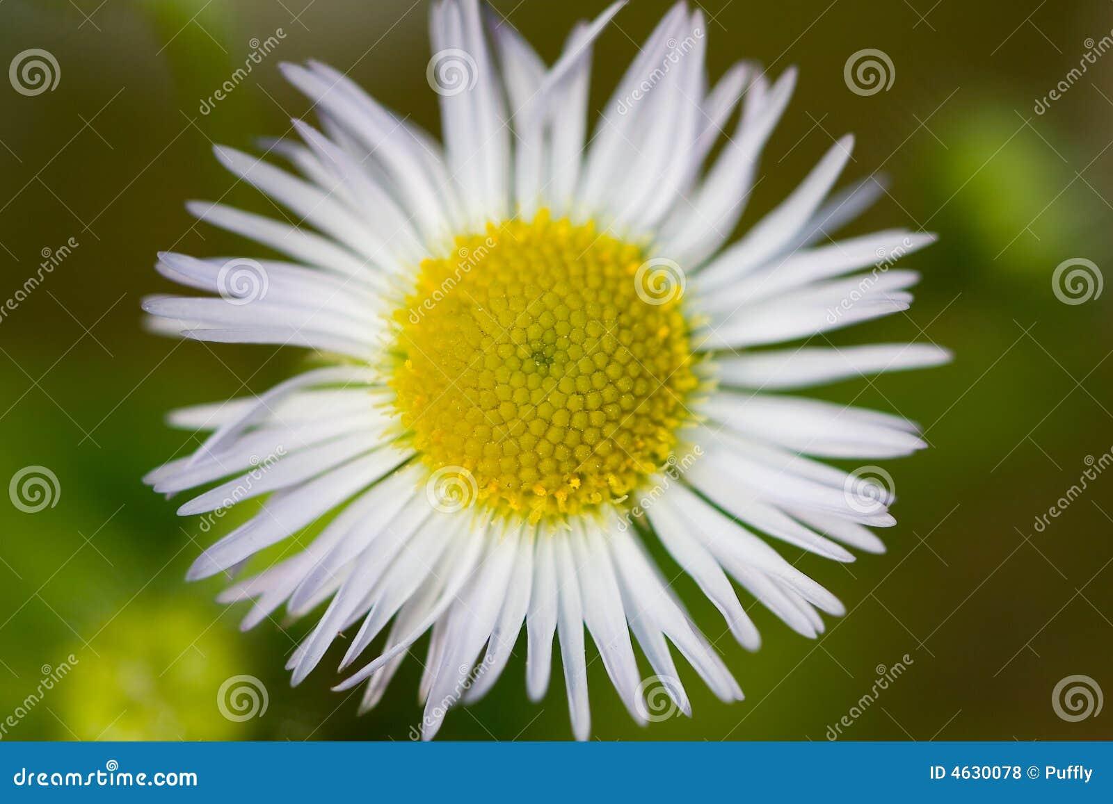 Flor do feverfew em selvagem