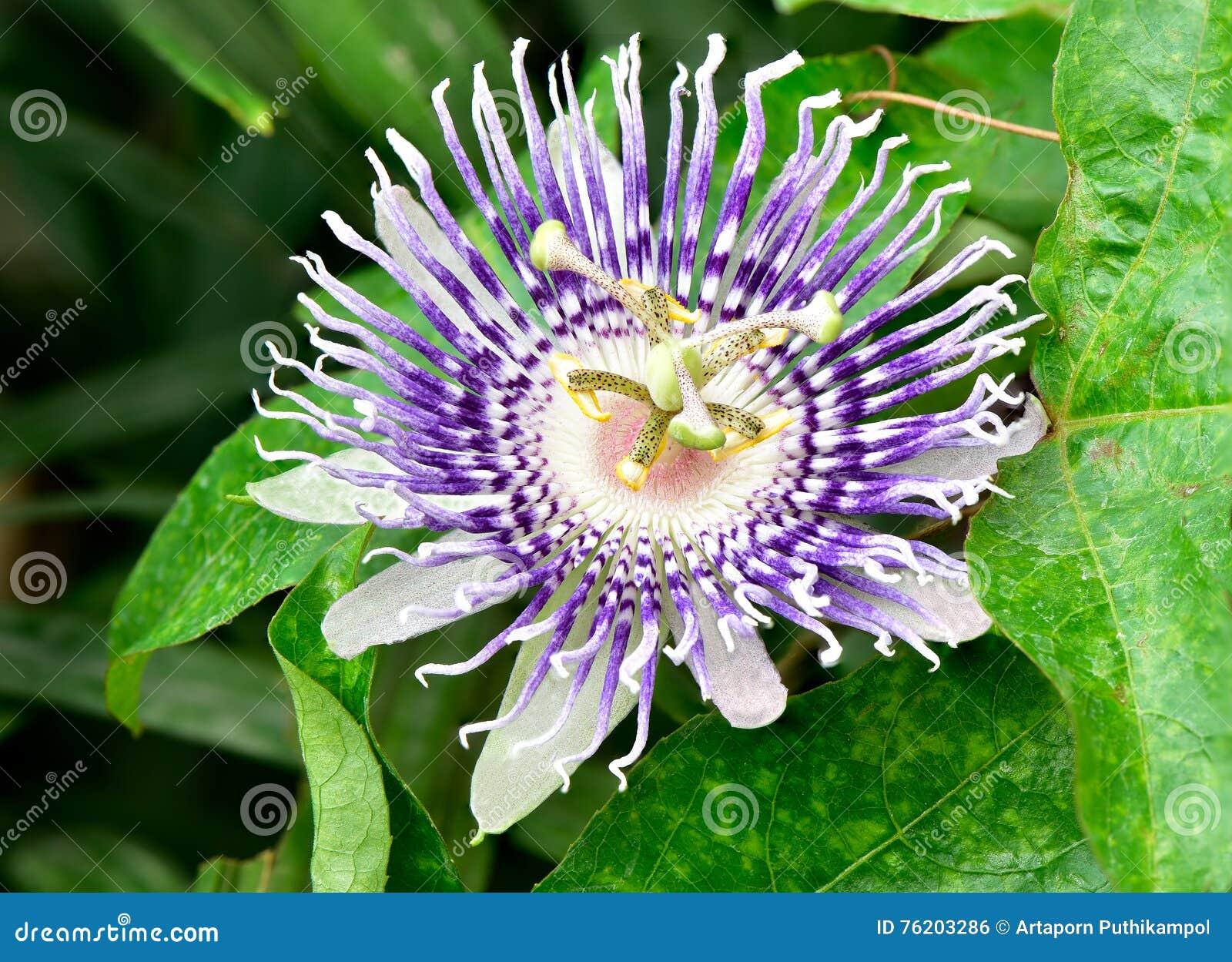 Flor do fruto de paixão