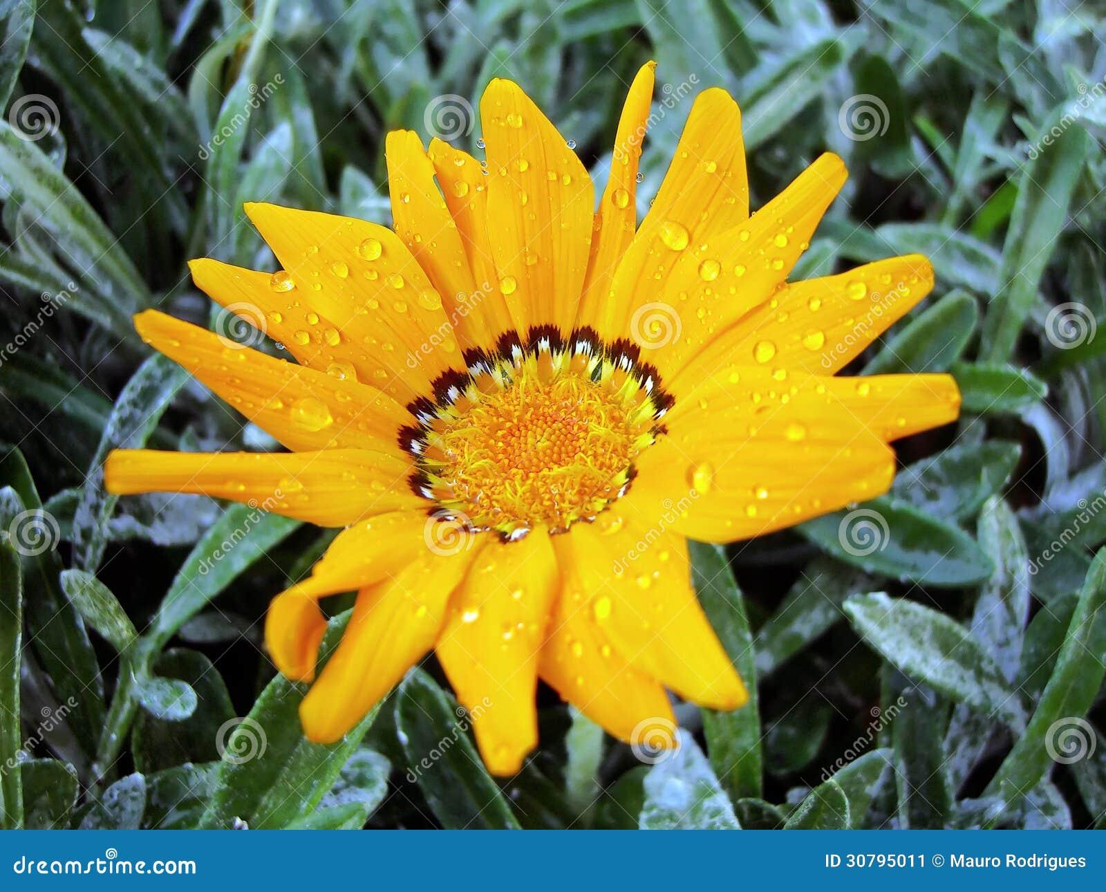 Flor do Gazania