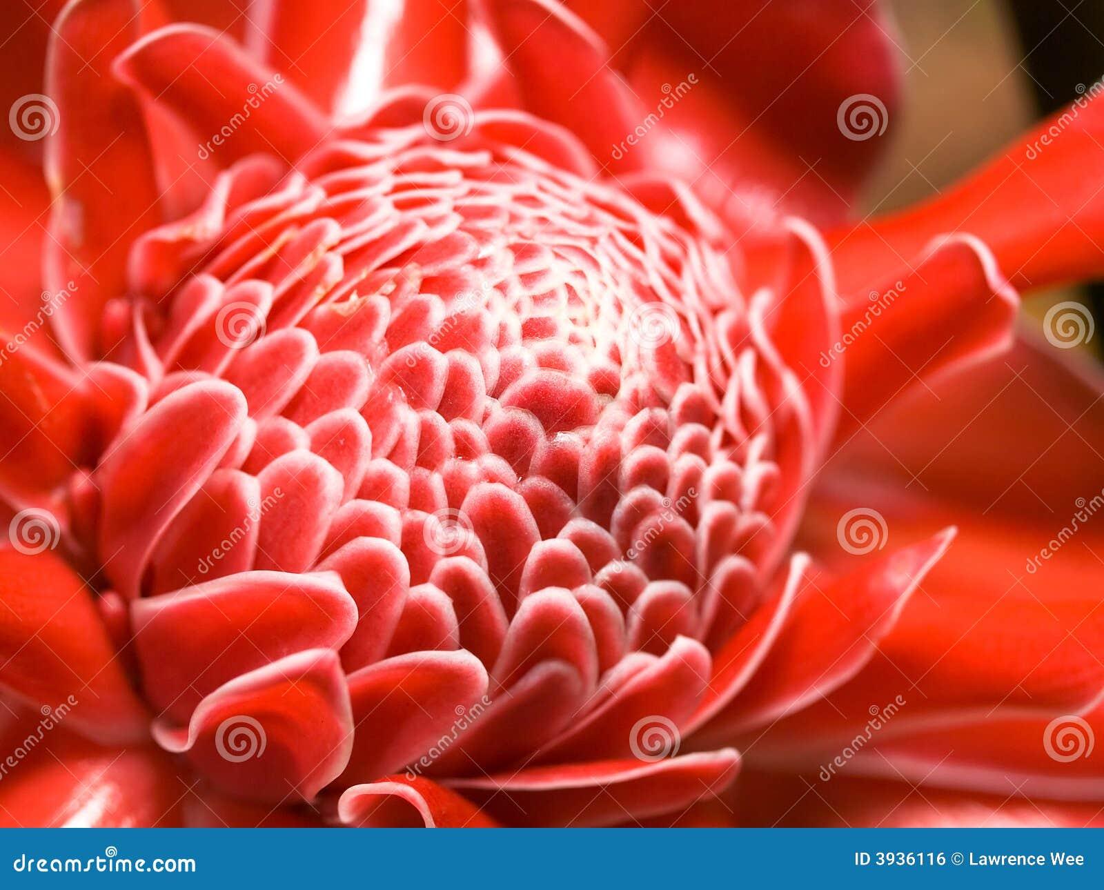 Flor do gengibre
