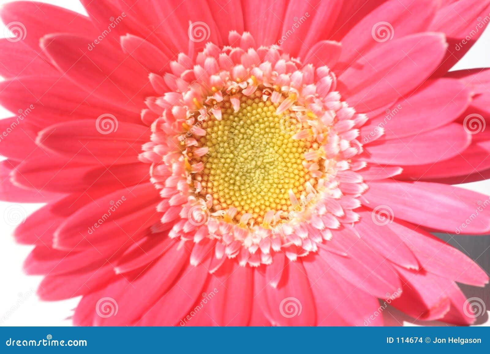 Flor do Gerbera