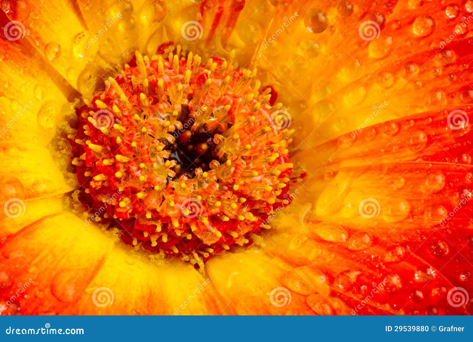 Flor do gerbera do amarelo alaranjado