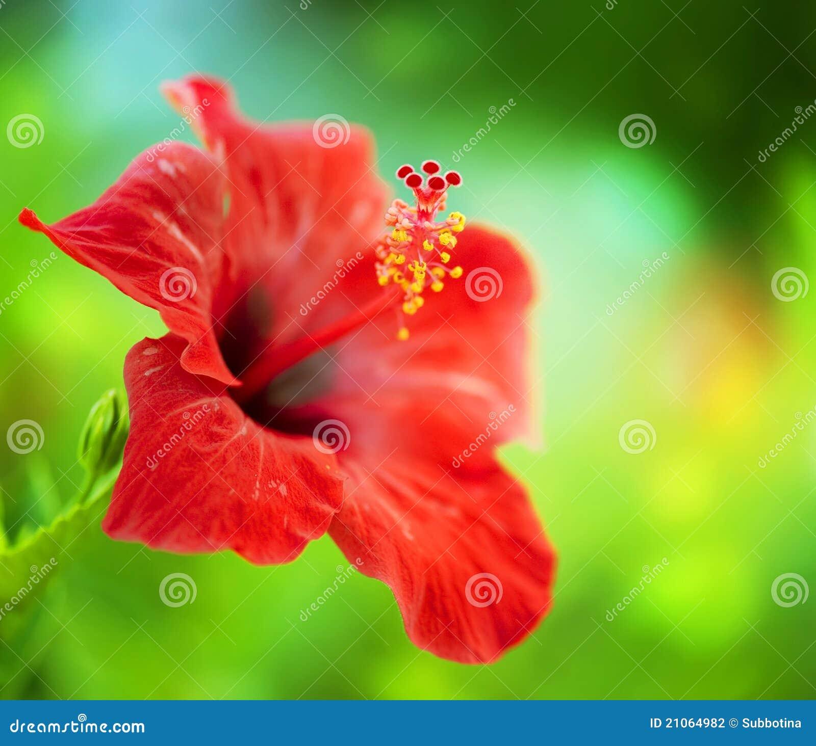 Flor do hibiscus
