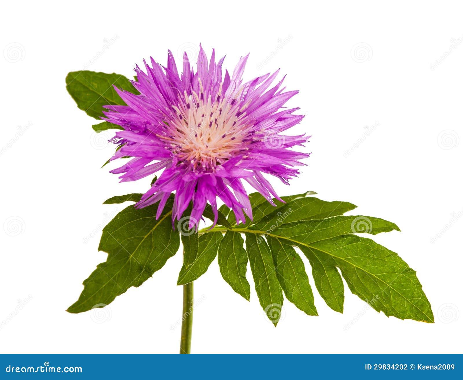 Flor do Lilac isolada