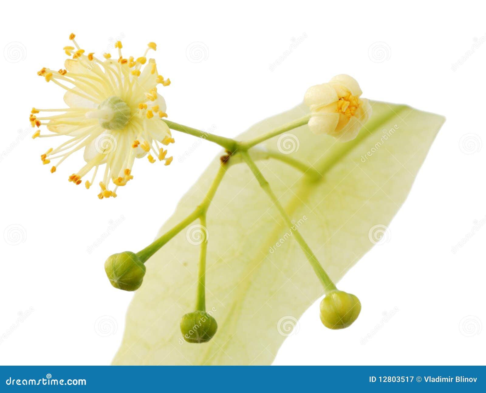 Flor do Linden