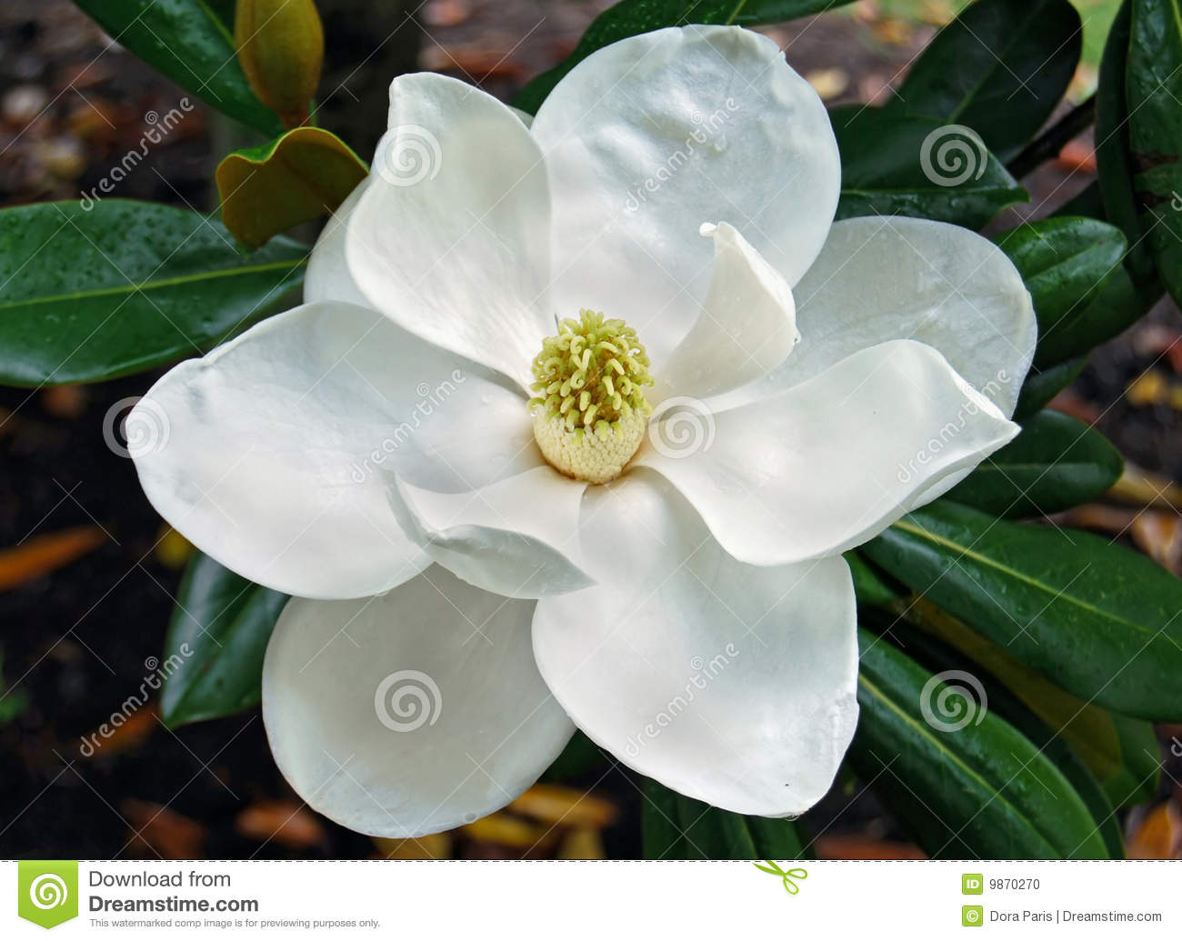 Foto De Stock Flor Do Magnolia Image9870270 as well E8 B7 AF E6 98 93 E6 96 AF E5 AE 89 E9 82 A3 as well Magnolia Wellness 420 Medical Cannabis Farmers Market Back By Popular Demand furthermore 5533866990 together with Spotted Cosco Carries Shells Appomattox Hull. on magnolia louisiana