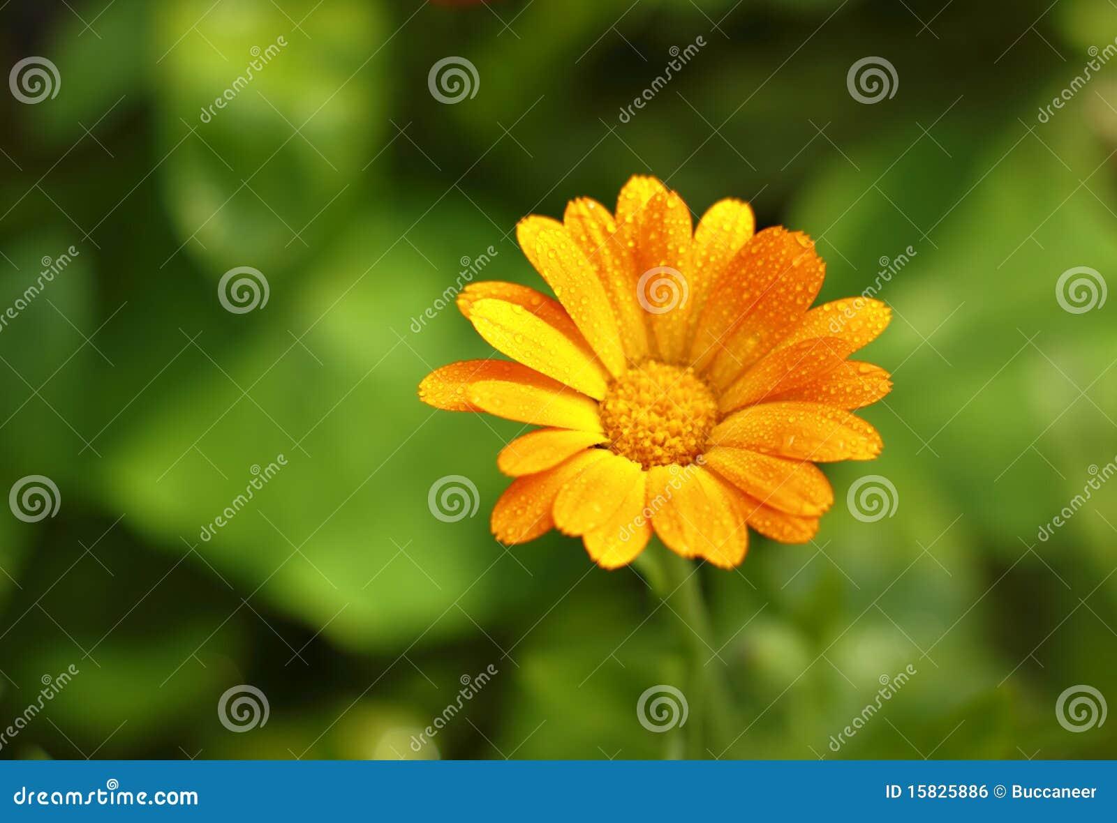 Flor do Marigold de potenciômetro