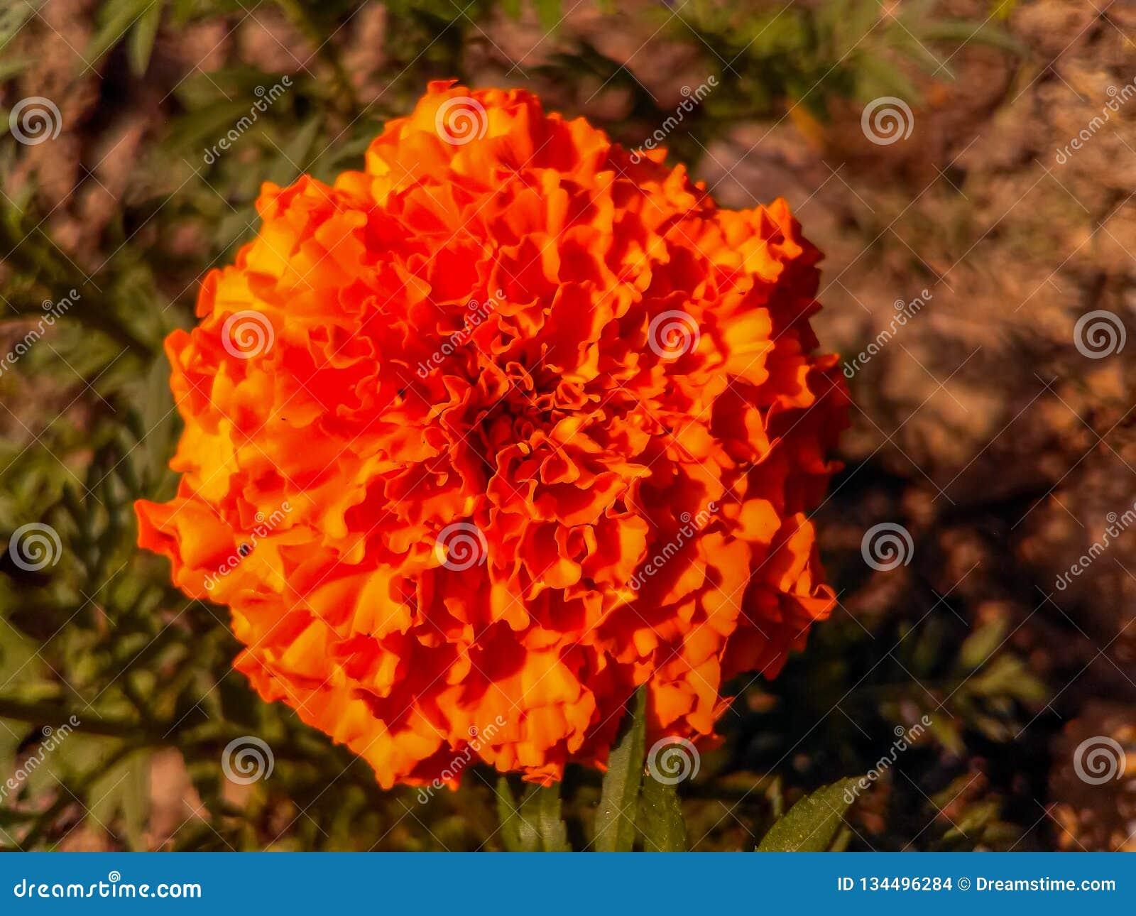 Flor do Marigold no jardim
