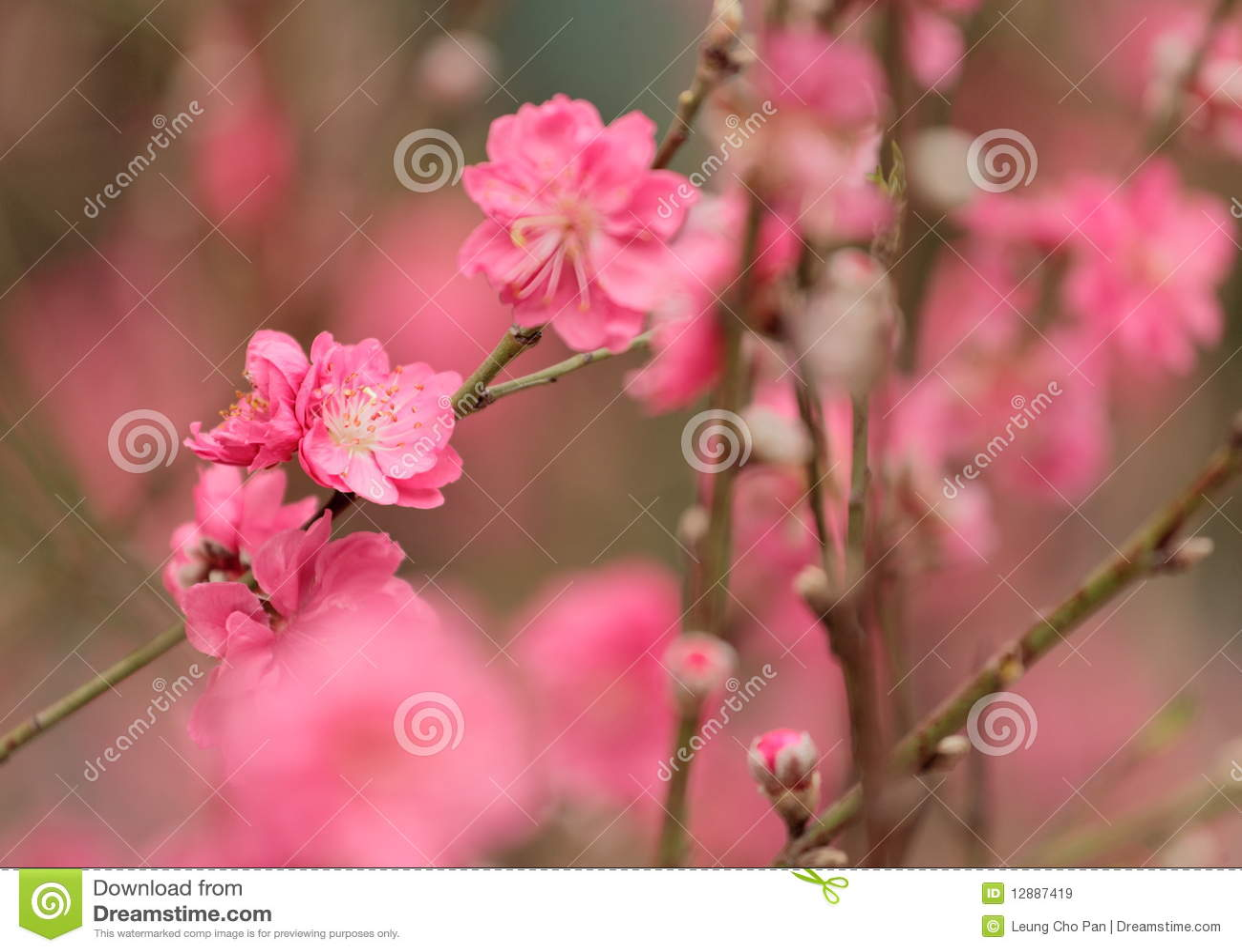 Flor do pêssego