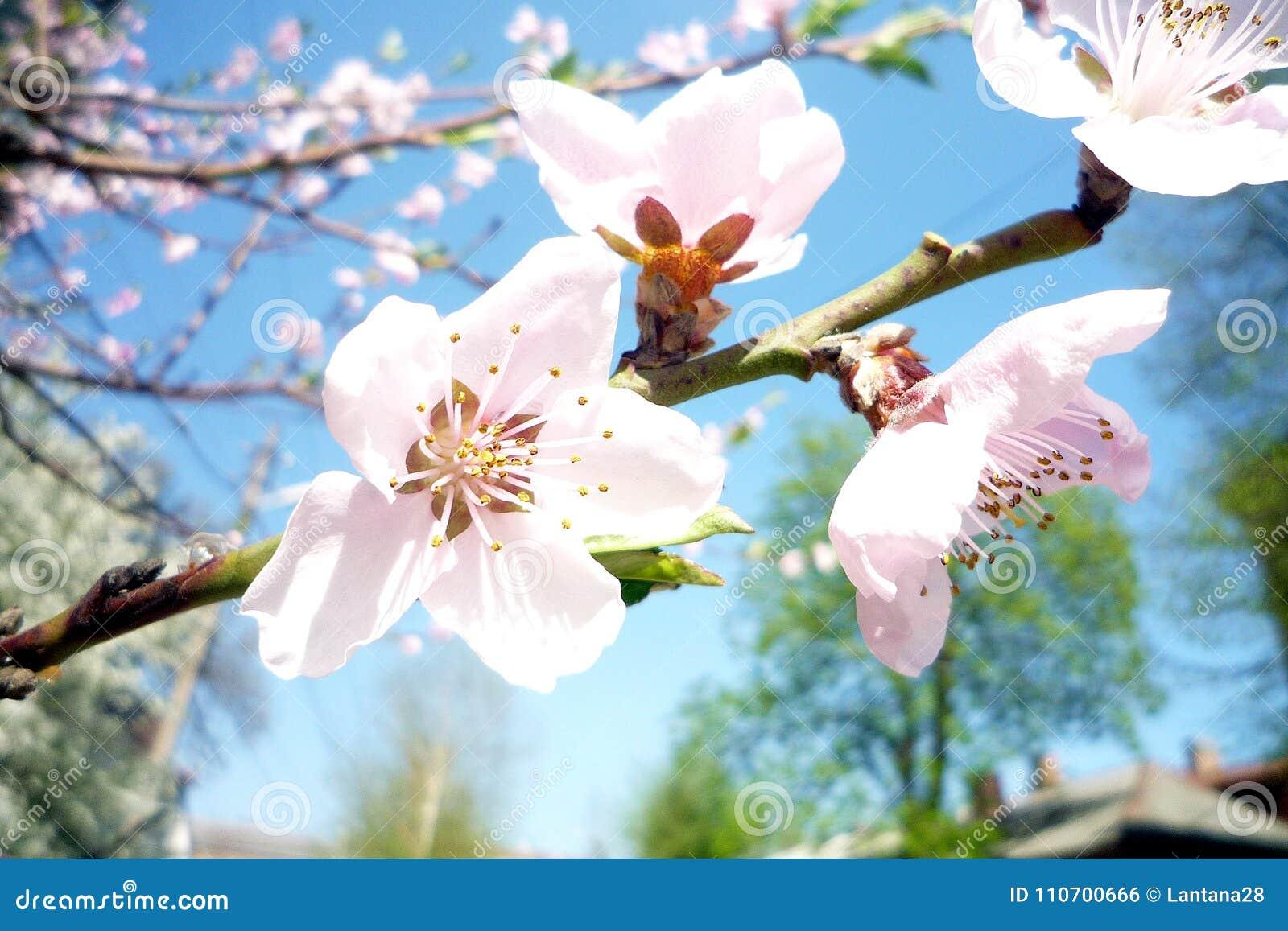 Flor do pêssego na mola em um dia ensolarado