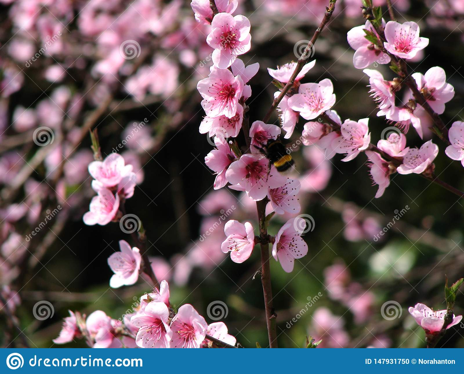 Flor do pêssego selvagem