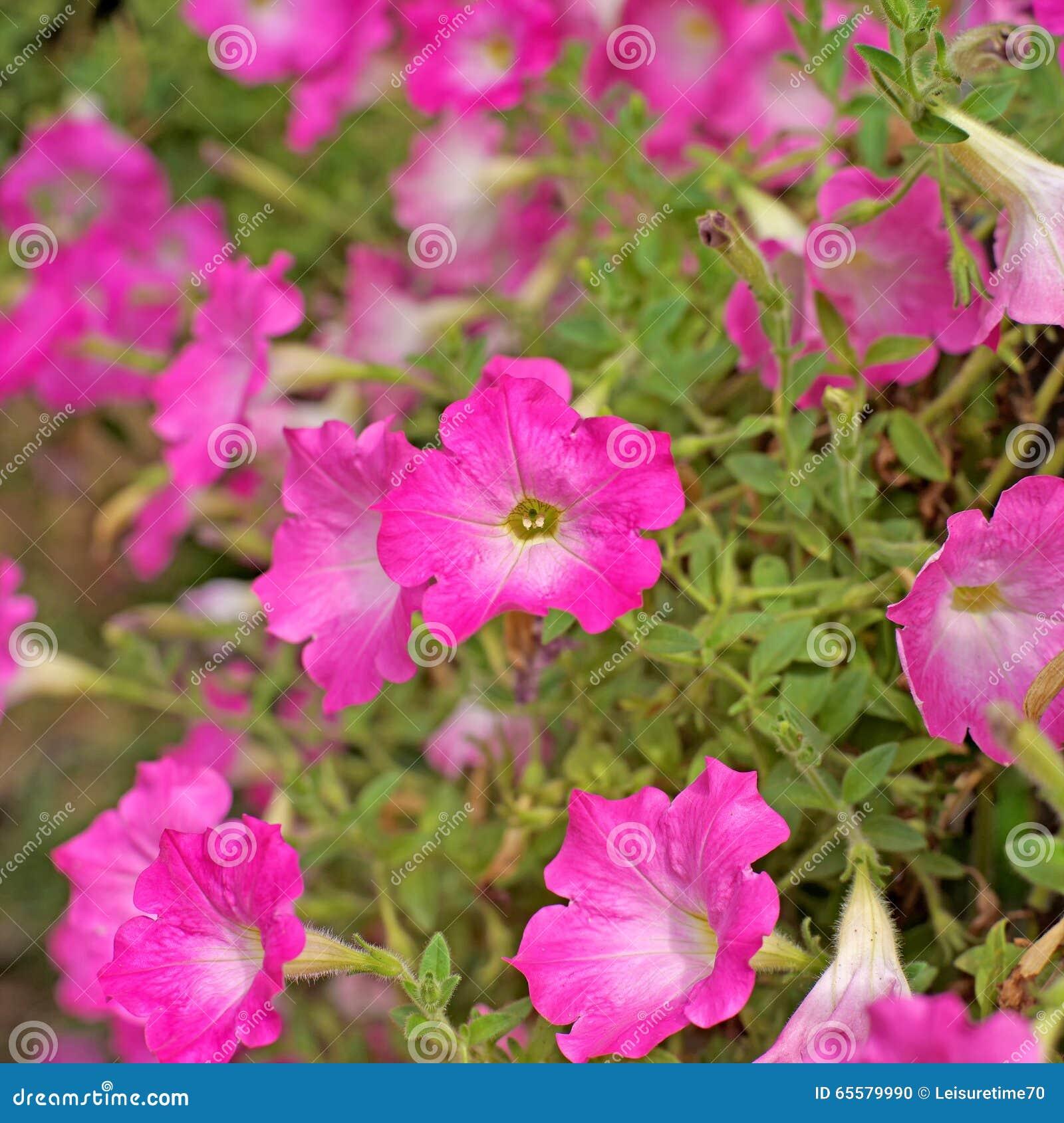 Flor do petúnia